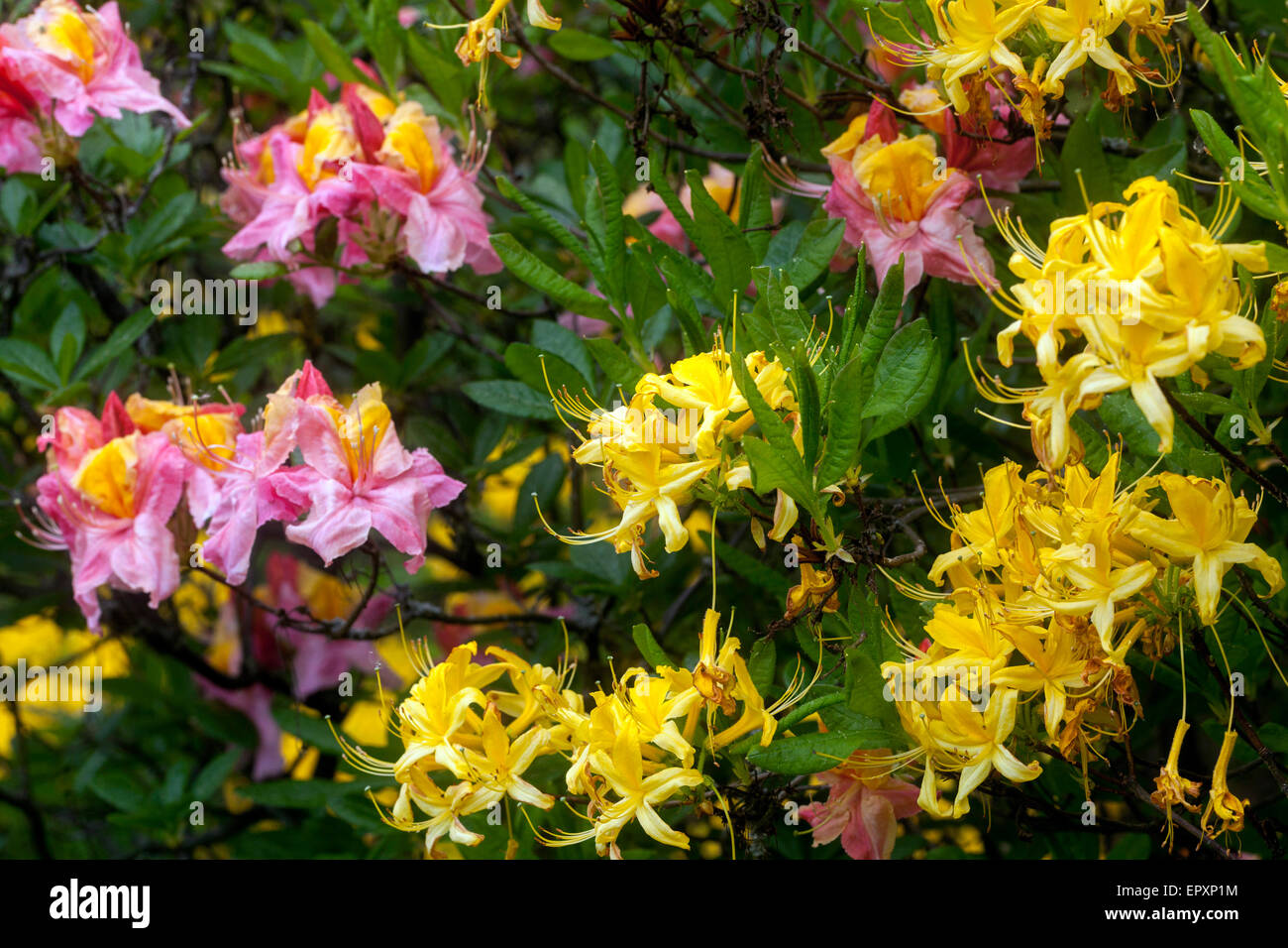 Rhododendron luteum - yellow - Stock Image