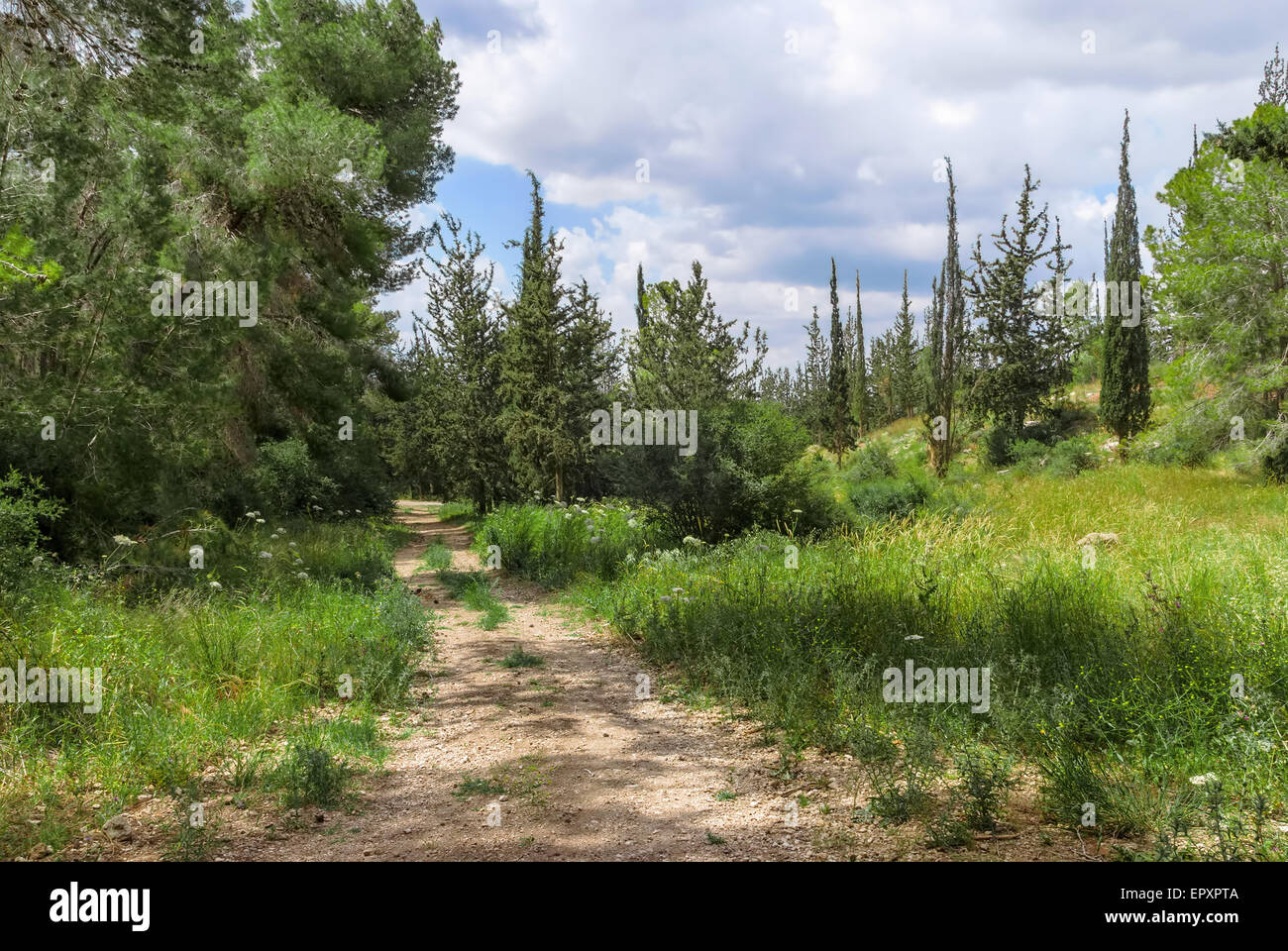 Empty hiking trail in the pine tree and cypress woods - Stock Image
