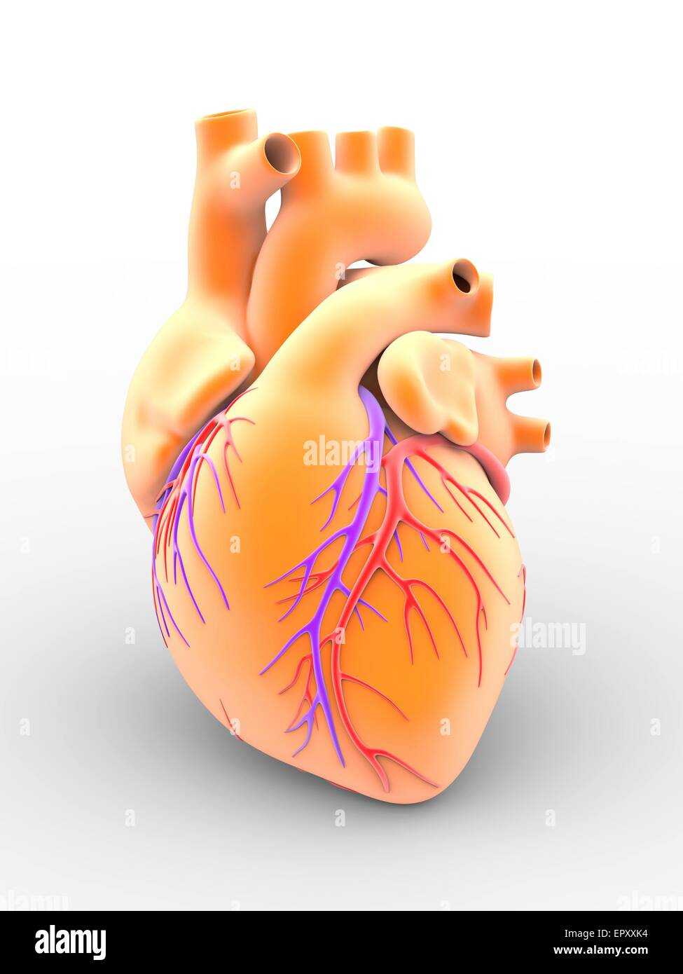 Human Heart Coronary Veins Stock Photos & Human Heart Coronary Veins ...