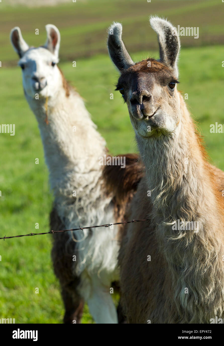Llama photo bomb. - Stock Image