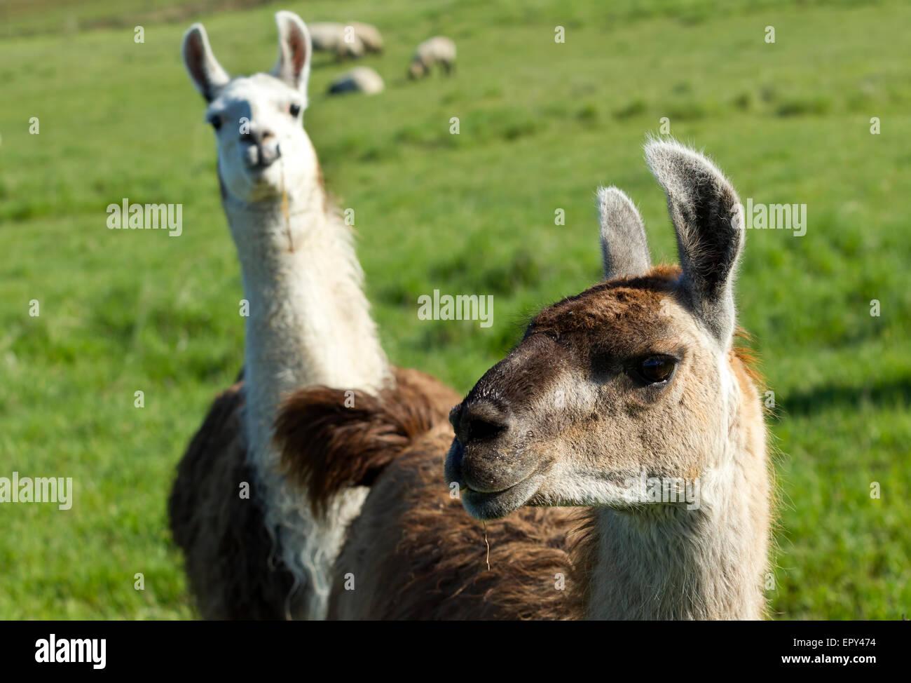 Another Llama photo bomb. - Stock Image