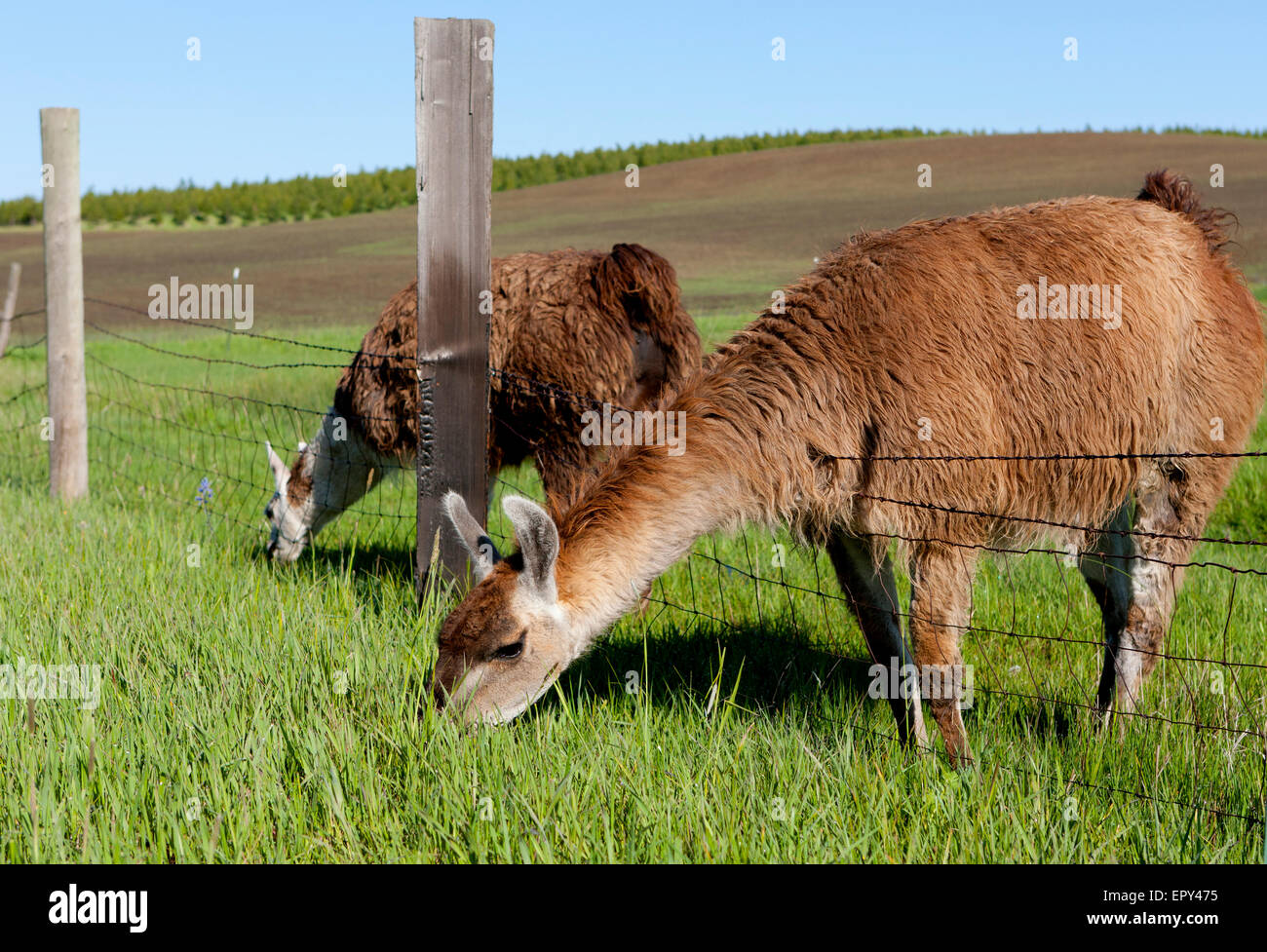 Grazing through the fence. - Stock Image