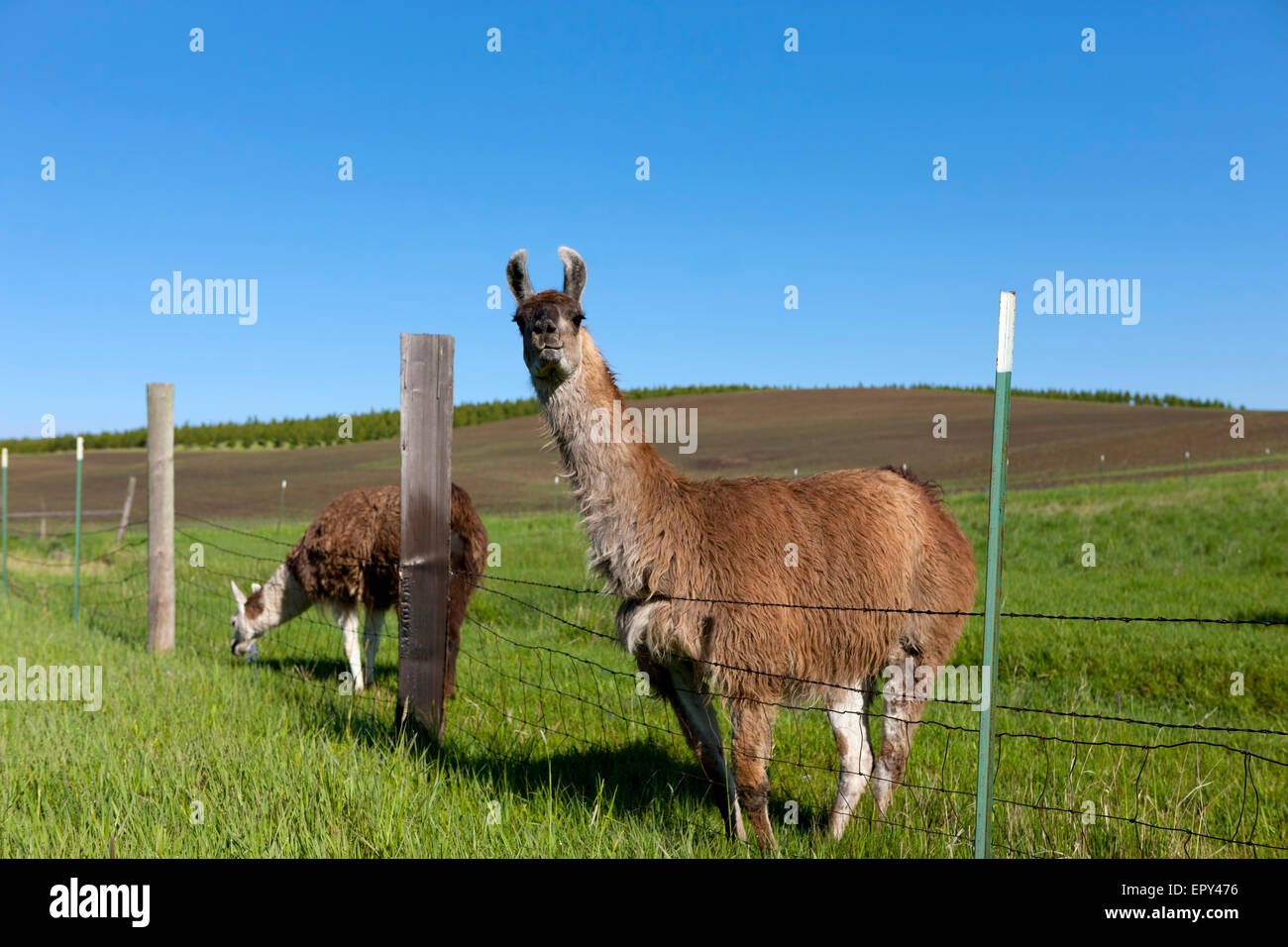 Two Llamas grazing by the fence near Potlach, Idaho. - Stock Image