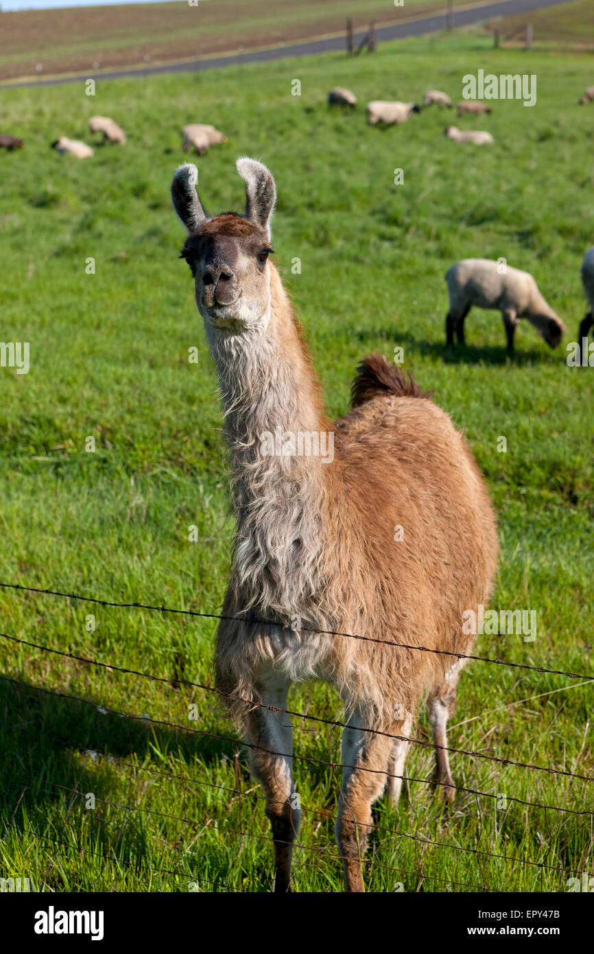 Llama in field with sheep. - Stock Image