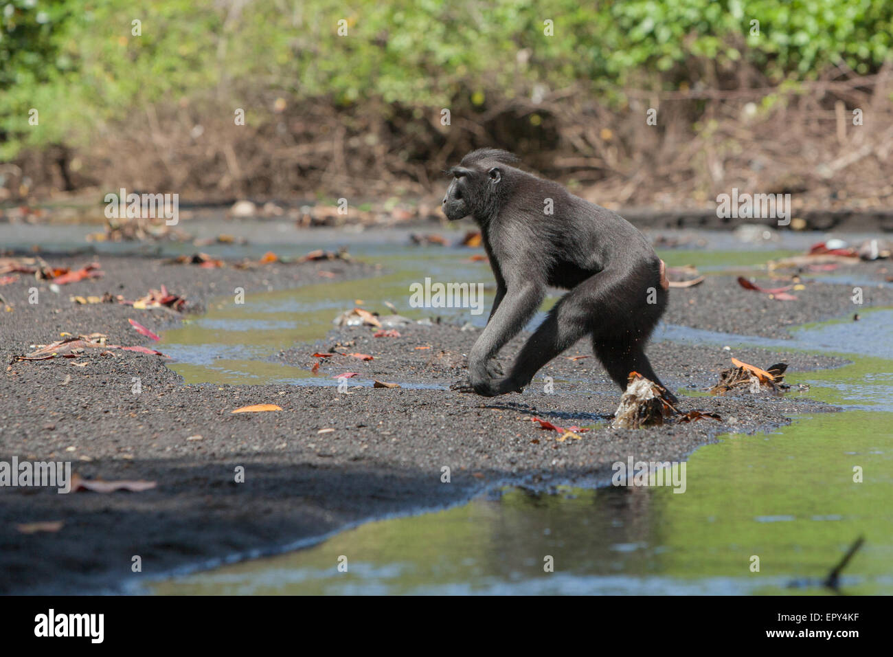 Sulawesi black-crested macaque (Macaca nigra) on bipedal behaviour. - Stock Image