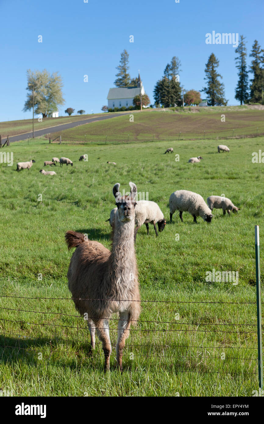 Llama and the sheep. - Stock Image