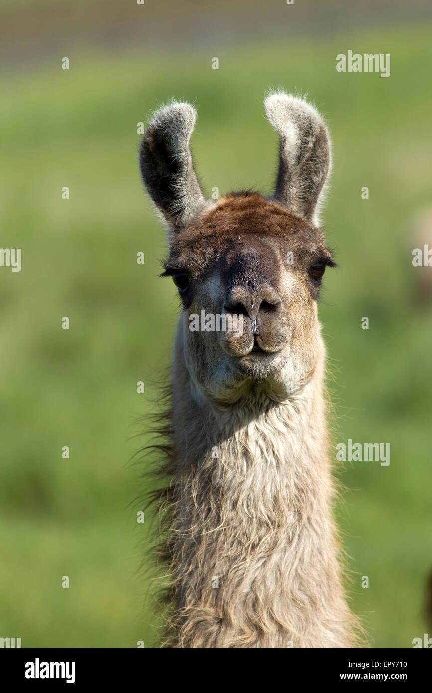 Portrait of Llama in field. - Stock Image