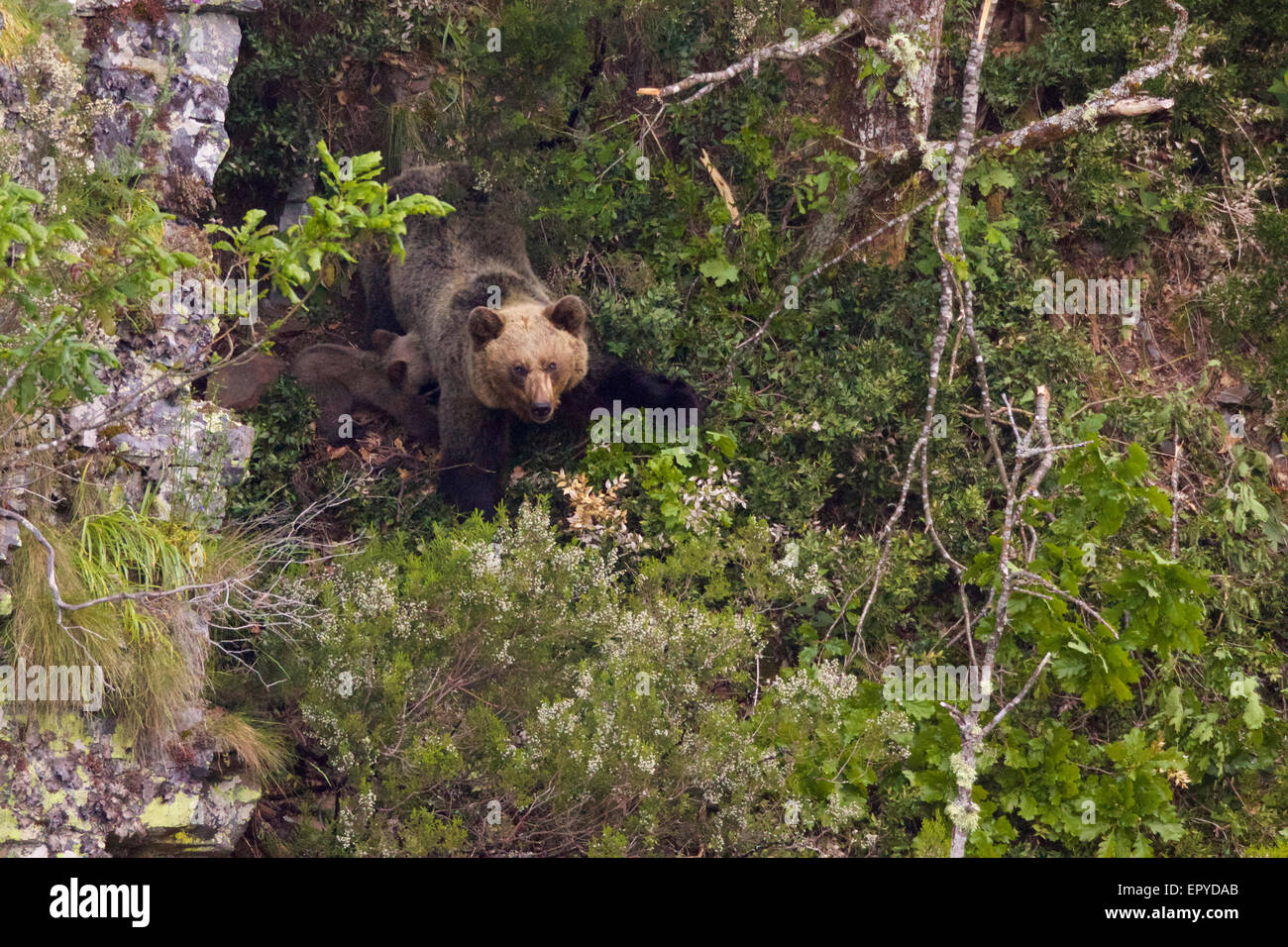 A mother bear nursing her cub, at the entrance of her den, in a near-inaccessible area in the Cantabrian Mountains, - Stock Image