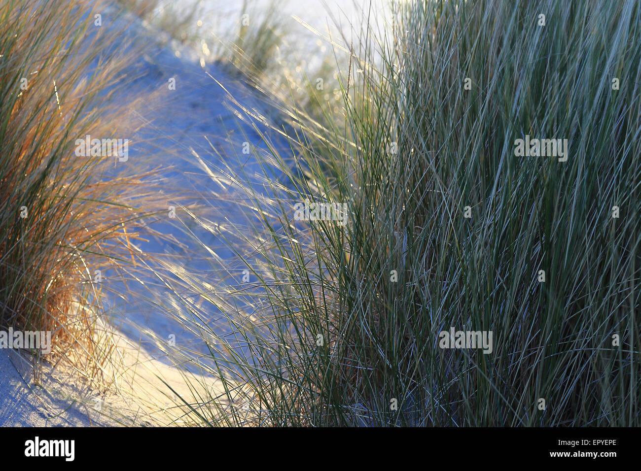 Marram grass, Harris Island, Outer Hebrides, Scotland, United Kingdom - Stock Image