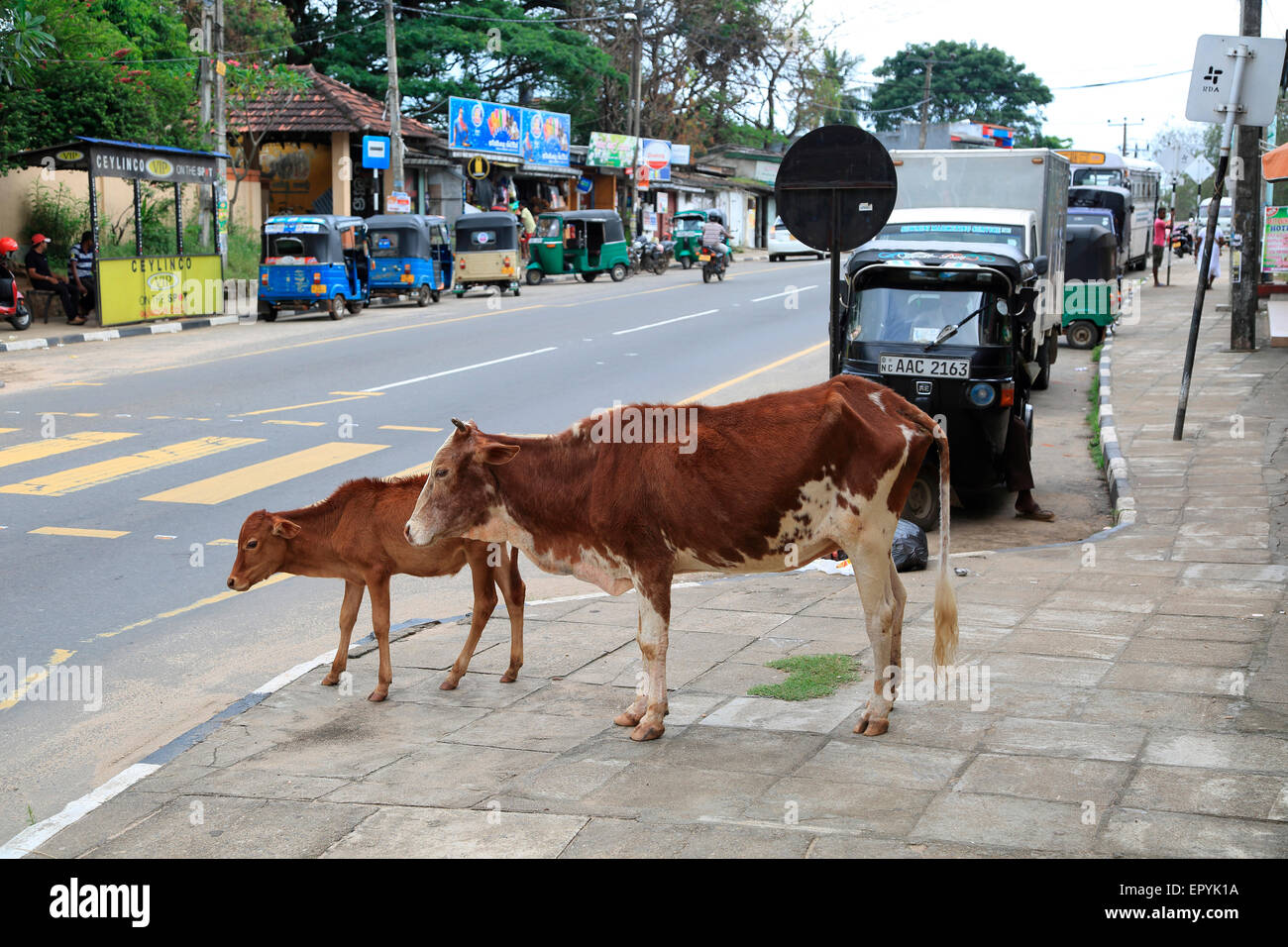 Cow and calf by roadside, Polonnaruwa. North Central Province, Sri Lanka, Asia Stock Photo