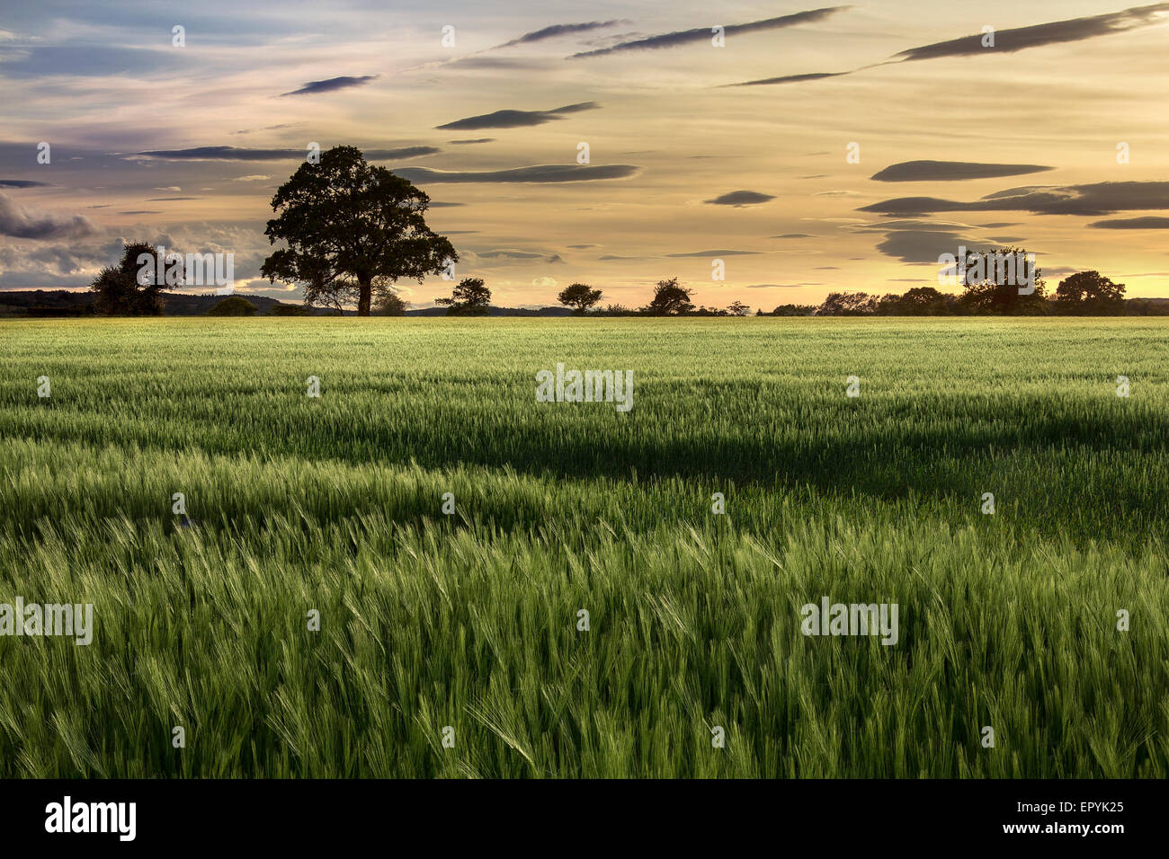 Evening sun over a crop of wheat in a farmers field. North Yorkshire in the United Kingdom. - Stock Image