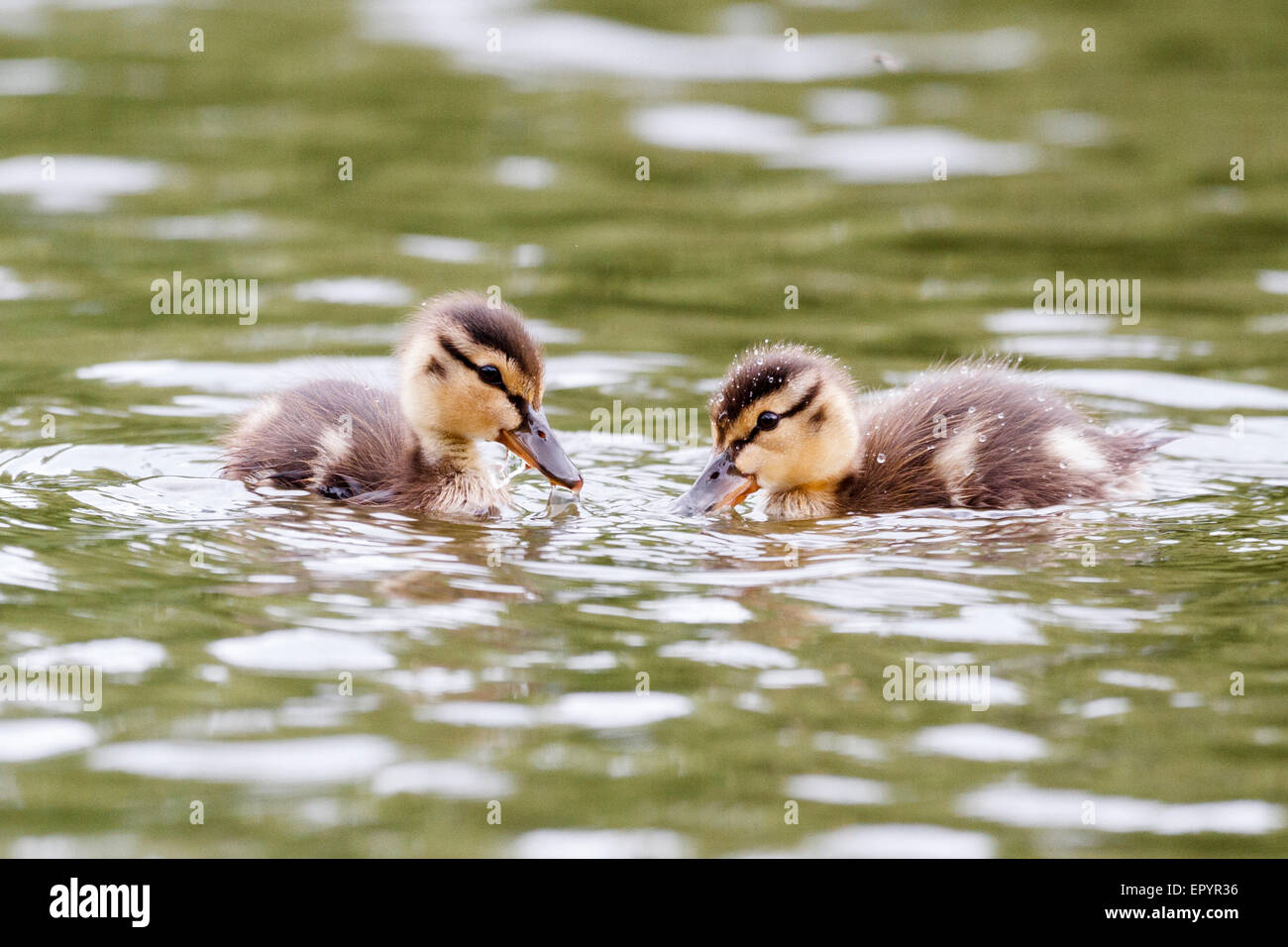 Windsor, UK. 23rd May, 2015. 23rd May 2015. Windsor, UK. UK weather. A pair of mallard ducklings enjoy a swim on - Stock Image
