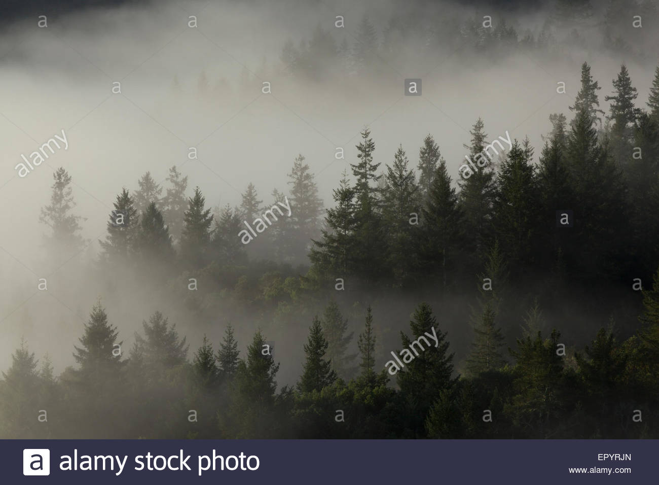 Foggy Forest at Mount Tamalpais Watershed, Marin County, California - Stock Image