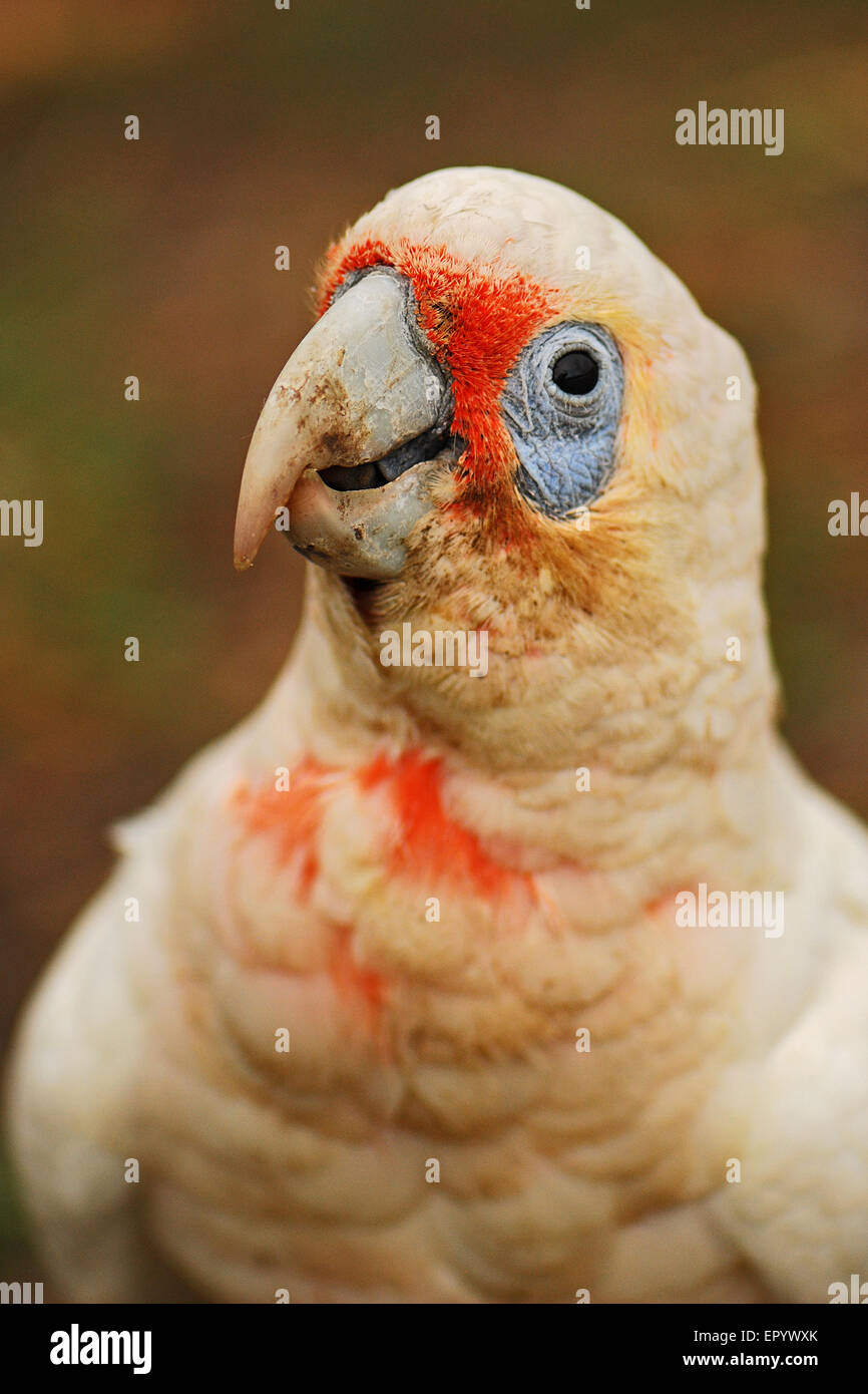Portrait of little corella with blurred background Stock Photo