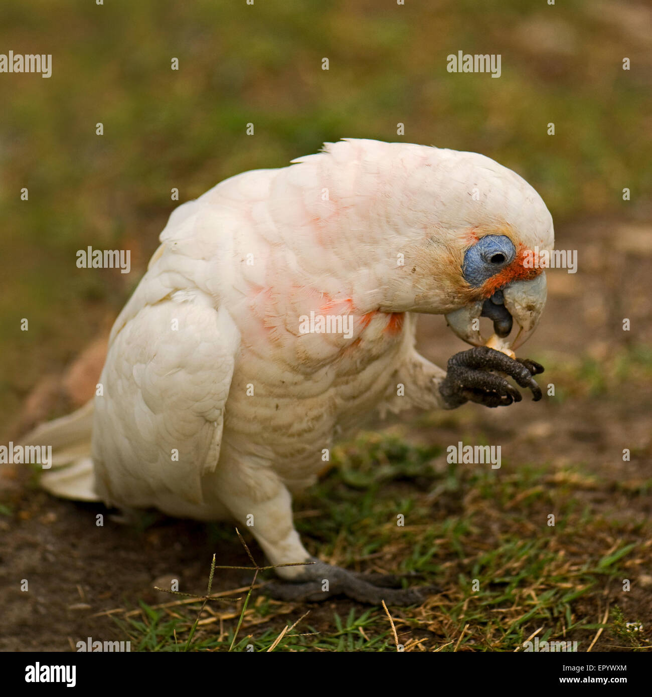 Portrait of little corella with blurred background - Stock Image