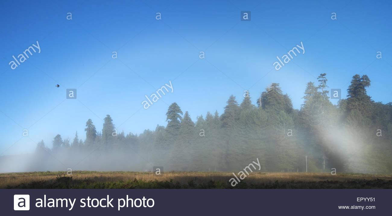 Panoramic Photo of Morning Fog Bow at Elk Prairie, Prairie Creek Redwoods State Park, California - Stock Image