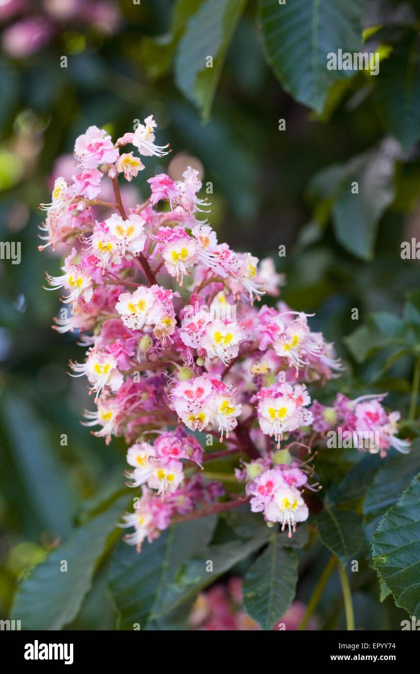 Aesculus hippocastanum flower horse chestnut tree in flower stock aesculus hippocastanum flower horse chestnut tree in flower mightylinksfo