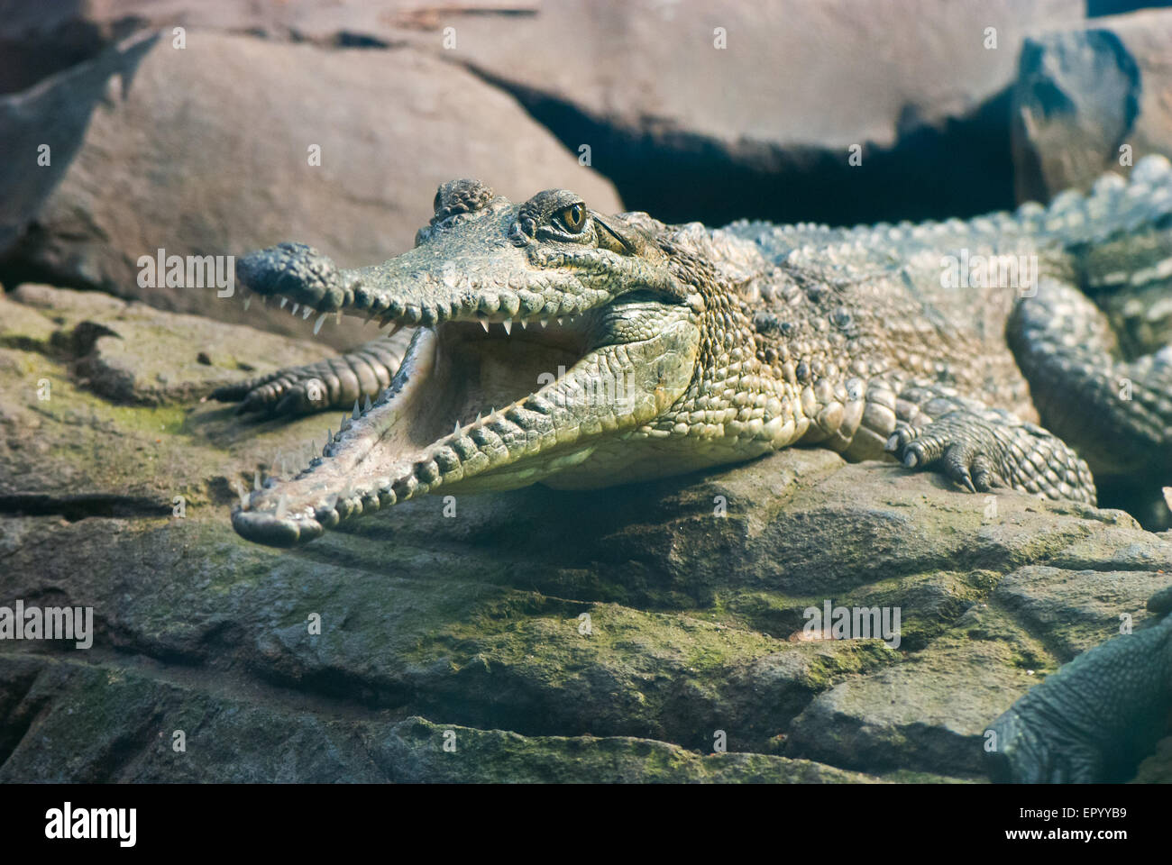 Young crocodile sitting on the rocks with the open mouth Stock Photo