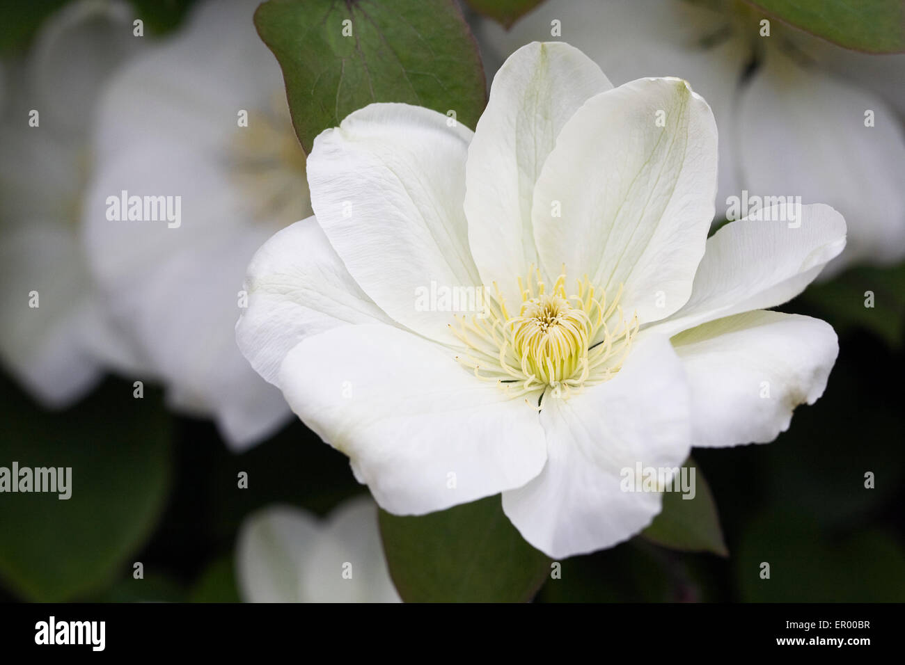 Large White Clematis Stock Photos Large White Clematis Stock