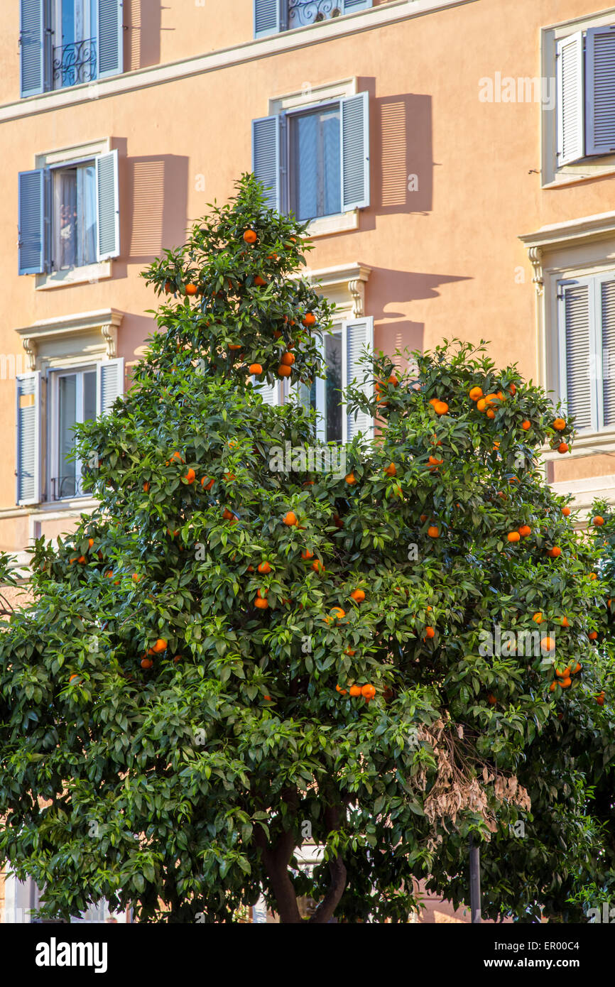 An orange fruit tree on the streets of Rome, Italy - Stock Image