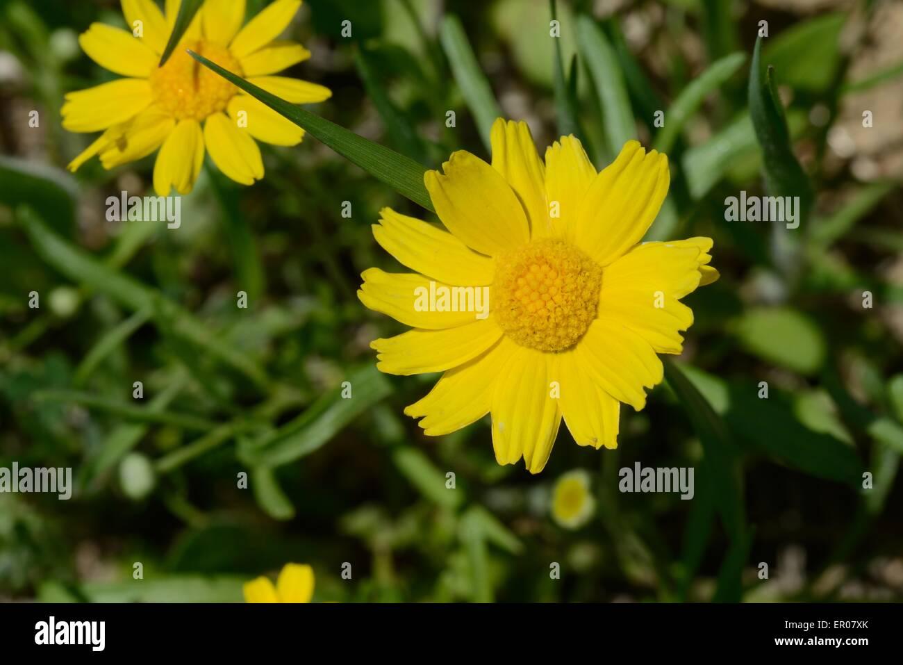 Four-nerve daisy - Stock Image
