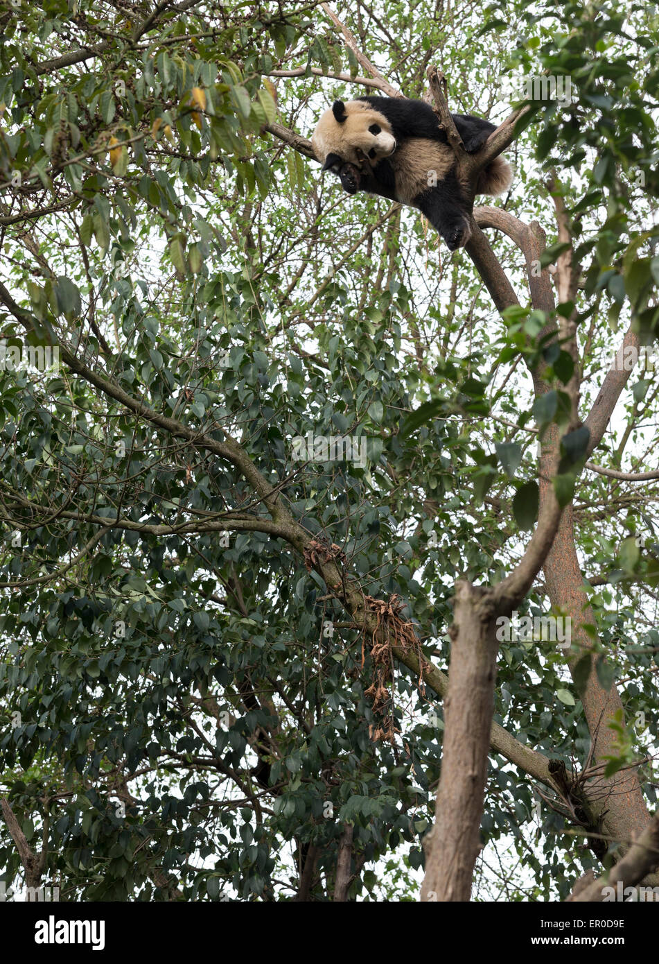 Giant panda (Ailuropoda melanoleuca) asleep a long way up a tree at Chengdu Panda Breeding and Research Center - Stock Image