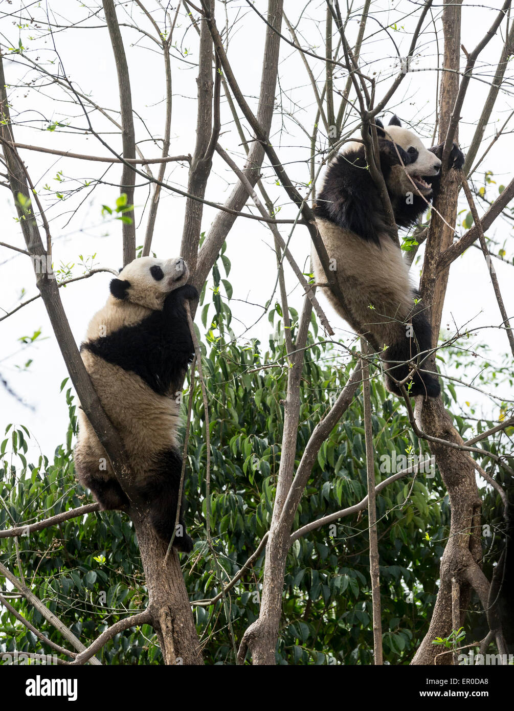 Tow giant pandas (Ailuropoda melanoleuca) climbing trees at Chengdu Panda Breeding and Research Center - Stock Image