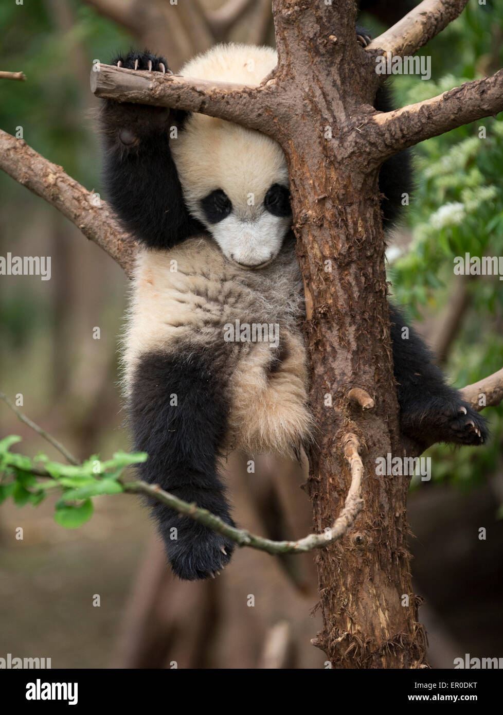 Giant panda (Ailuropoda melanoleuca) at Chengdu Panda Breeding and Research Center - Stock Image