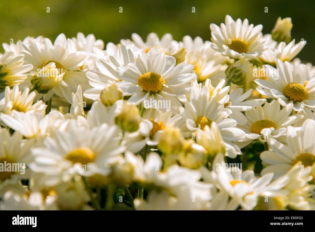Beautiful bouquet of white daisies bright sunny day - Stock Image