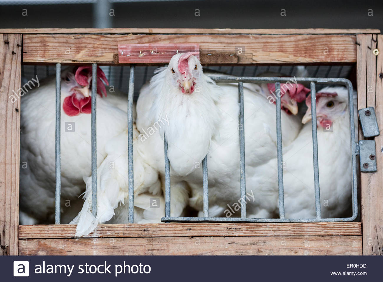 caged chicken during poultry exhibition - Stock Image