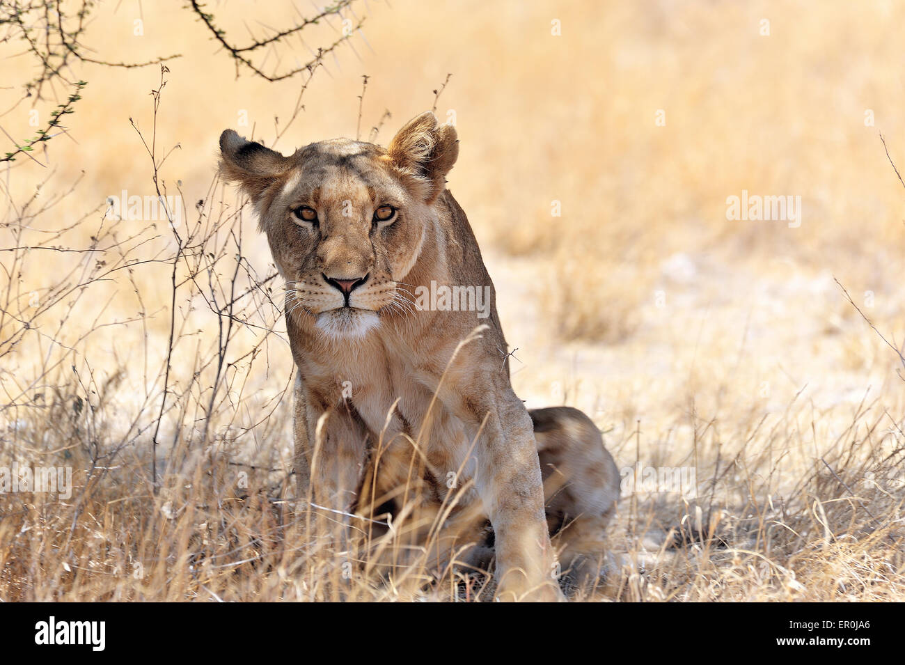 Curious Lion watching for victim - Stock Image