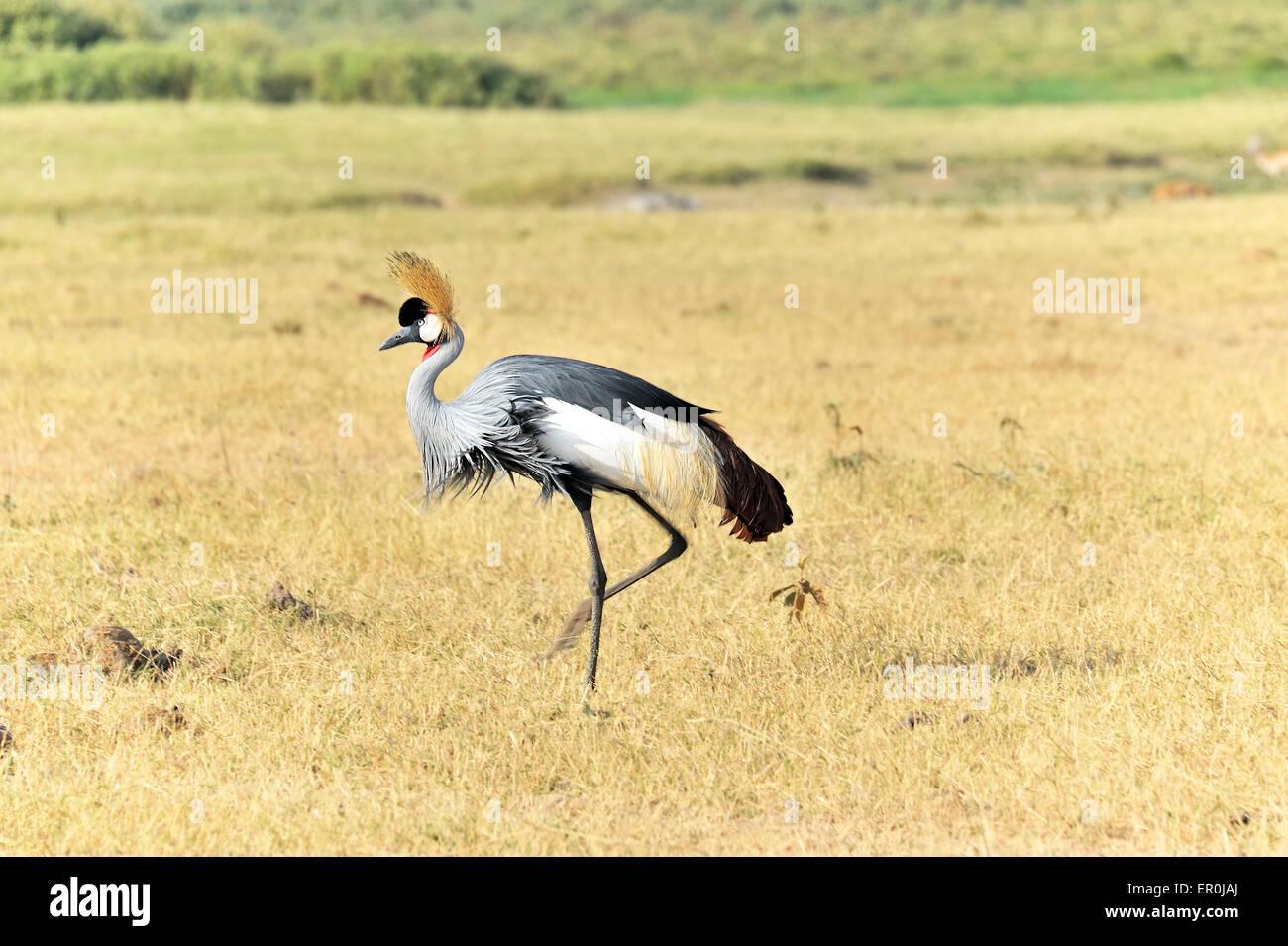 Grey-crowned Crane in Masai Mara - Stock Image