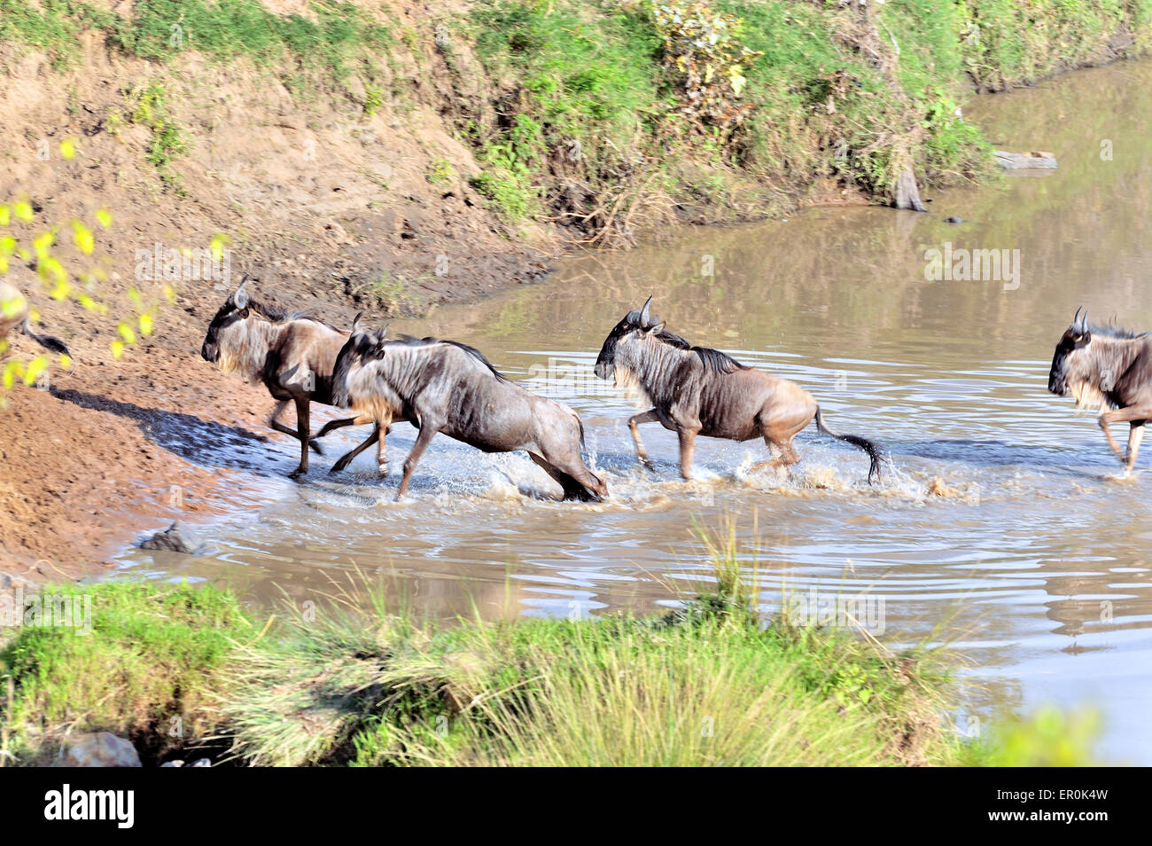 Excited Wildebeests crossing river for migration - Stock Image