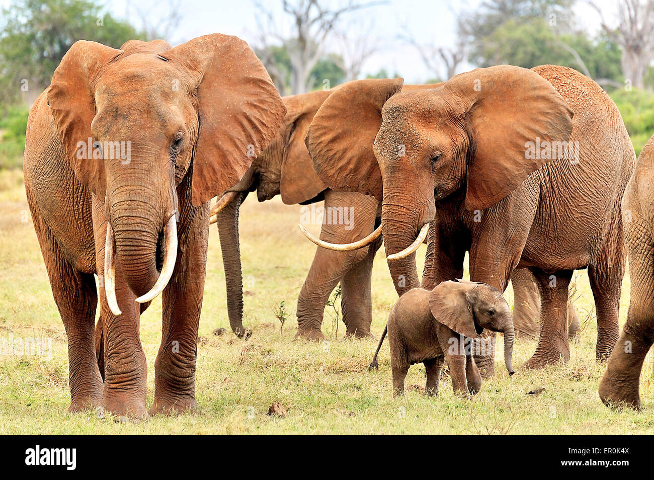 Baby elephant watching a bird between its family - Stock Image