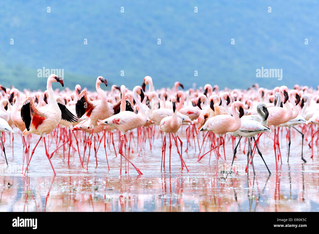Flamingos spreading their deep red wings to get the attention of the females, in African Rift Valley, Lake Bogoria Stock Photo