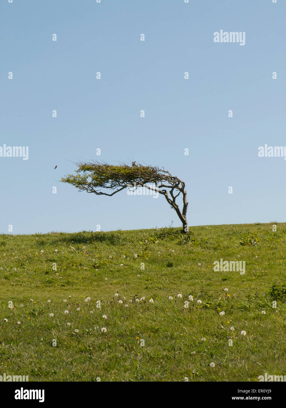 Hawthorn tree bent over by prevailing wind On Beach Head East Sussex UK - Stock Image