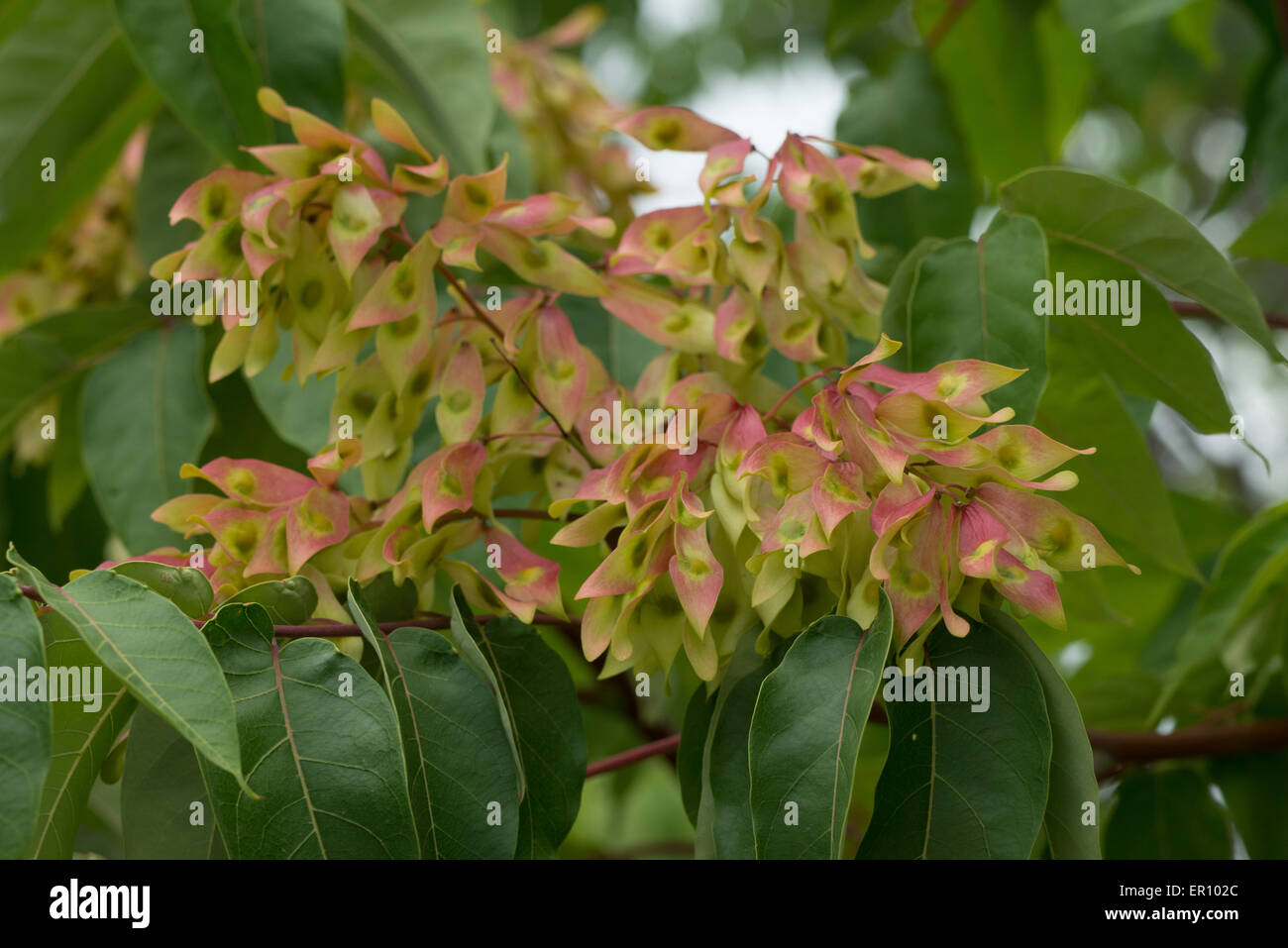Ailanthus altissima is an invasive plant species to Europe, seriously harming local vegetation, Spain - Stock Image