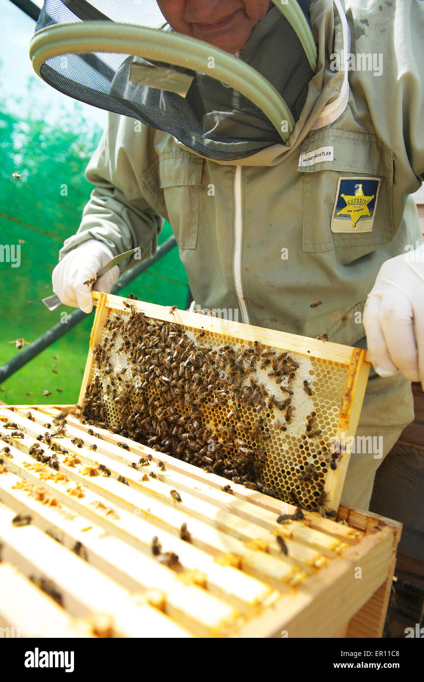 Worker bees on the super frame building the comb - Stock Image