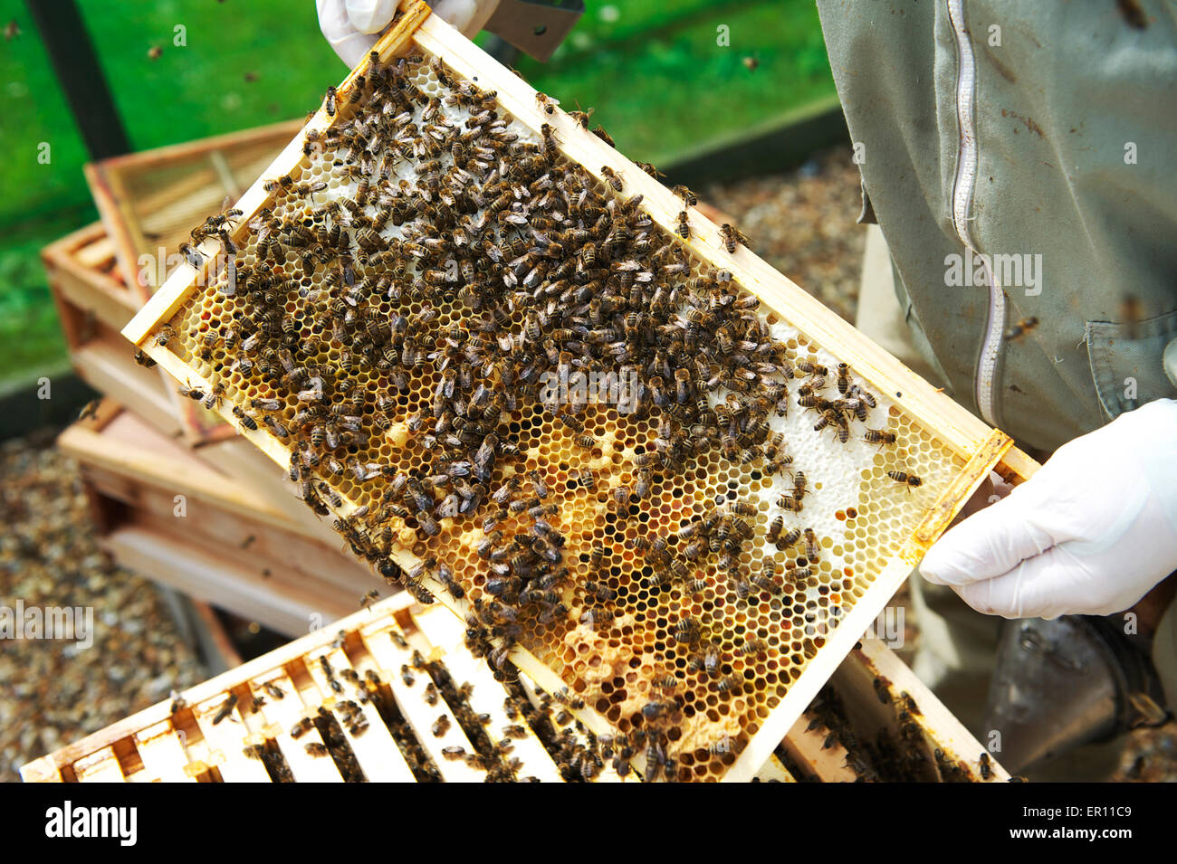 Brood Frame Stock Photos & Brood Frame Stock Images - Alamy