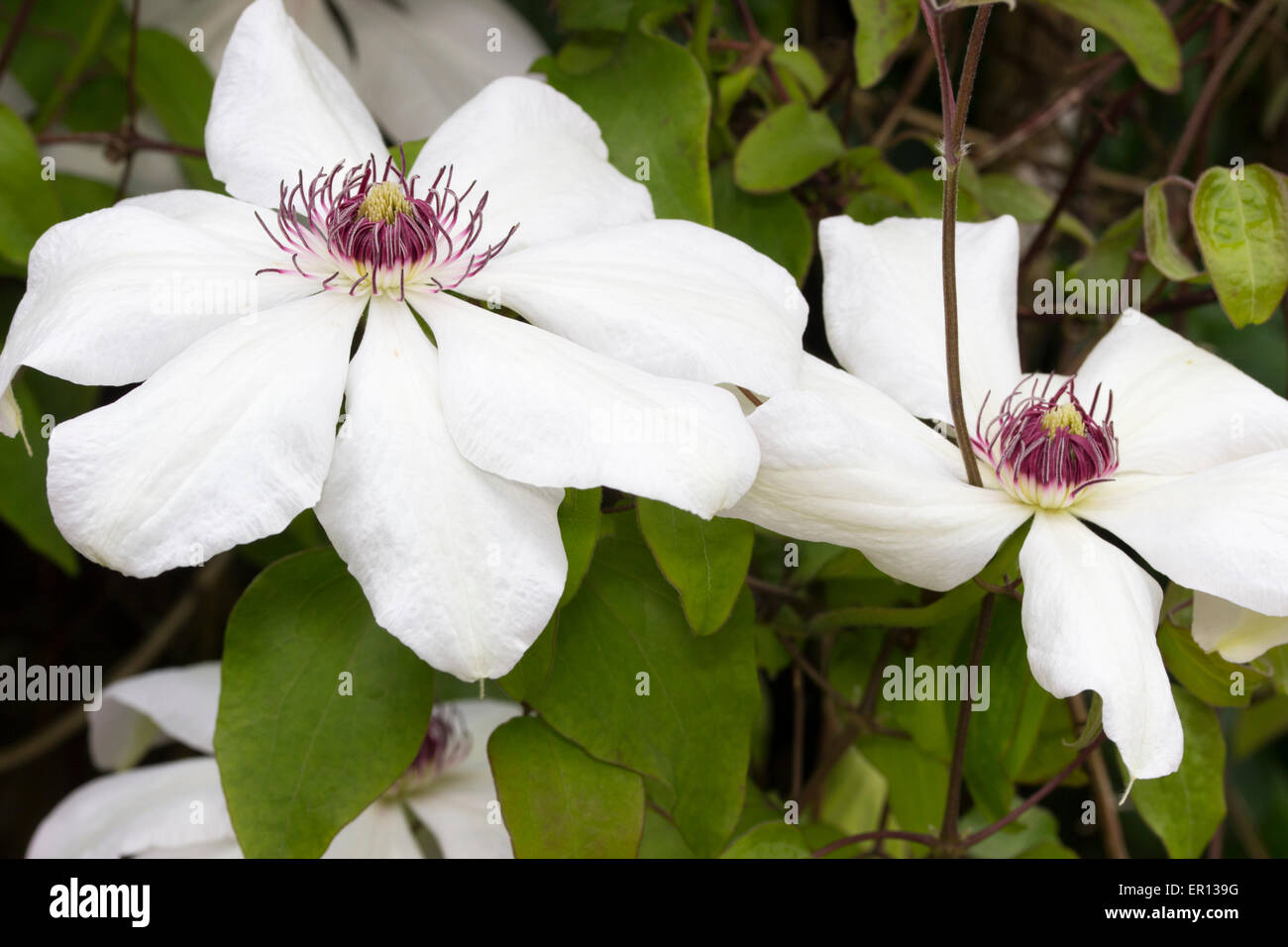 Large white flowers of the late spring flowering clematis miss large white flowers of the late spring flowering clematis miss bateman mightylinksfo Gallery