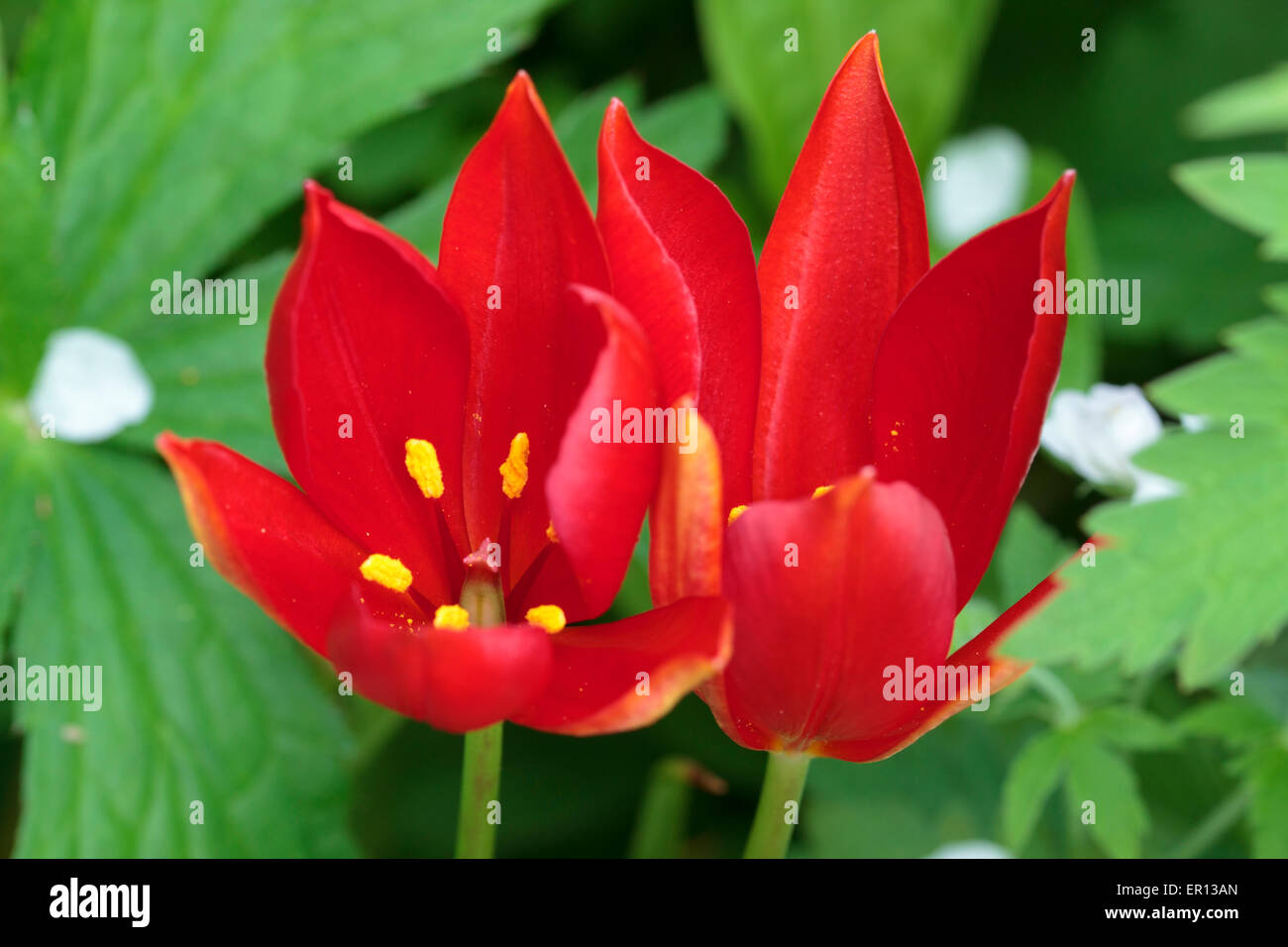 Flowers of the late blooming species tulip, Tulipa sprengeri - Stock Image