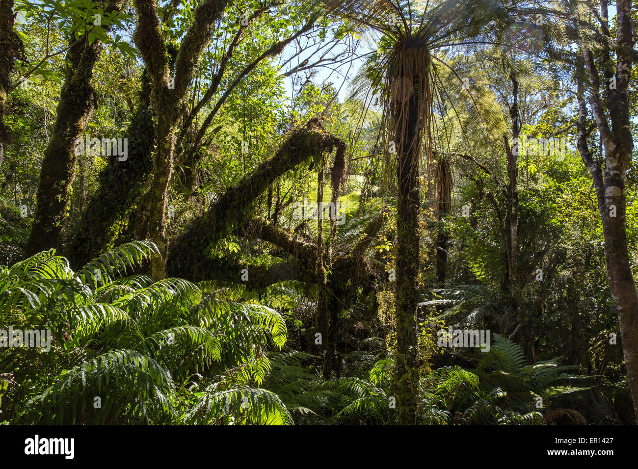 Temperate rain forest of New Zealand in the Southern Alps with rich growth of ferns and tree ferns amongst evergreen - Stock Image