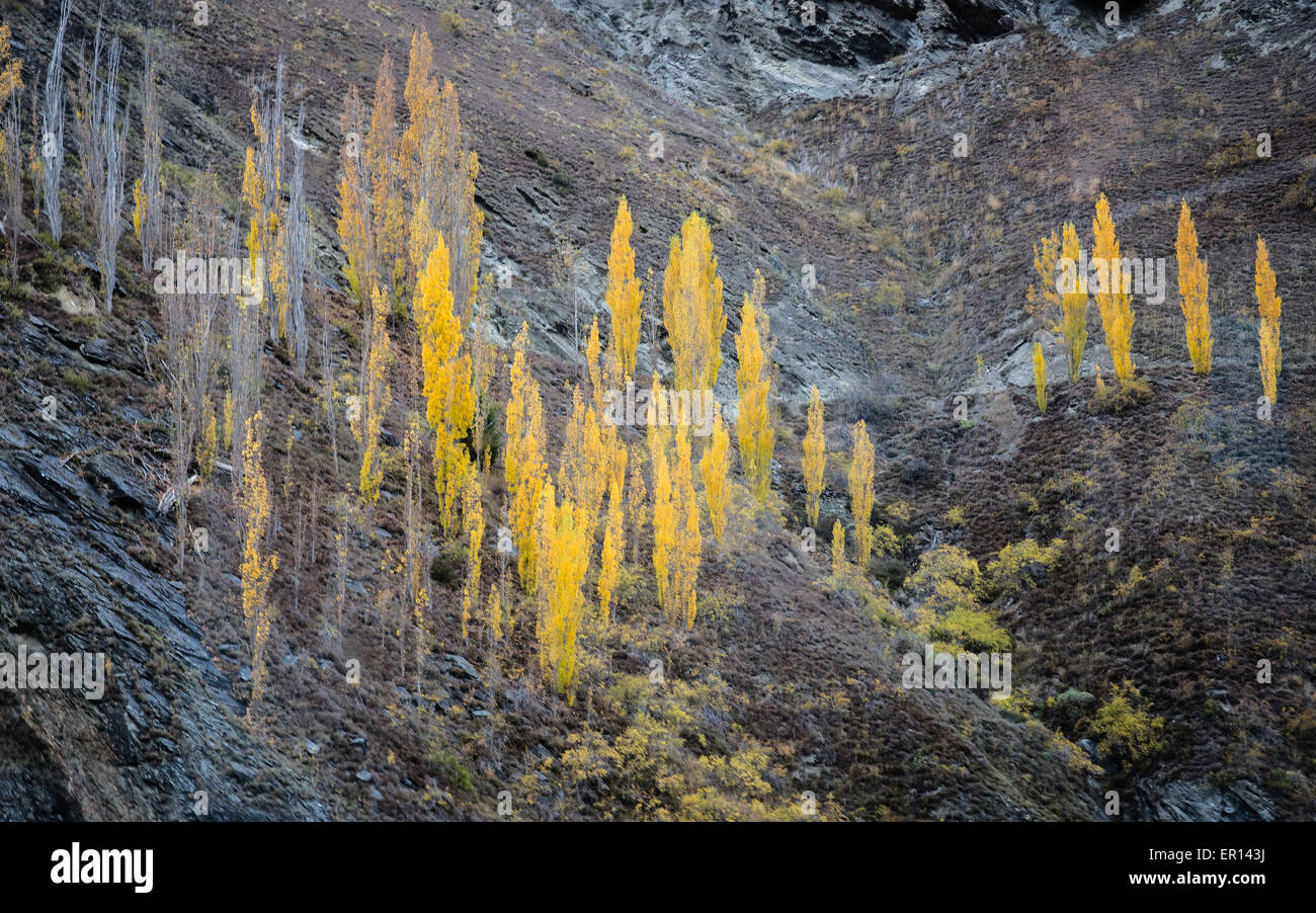 Aspen or poplar trees in autumn colour in the Kawarau Gorge near Queenstown in central South Island New Zealand - Stock Image