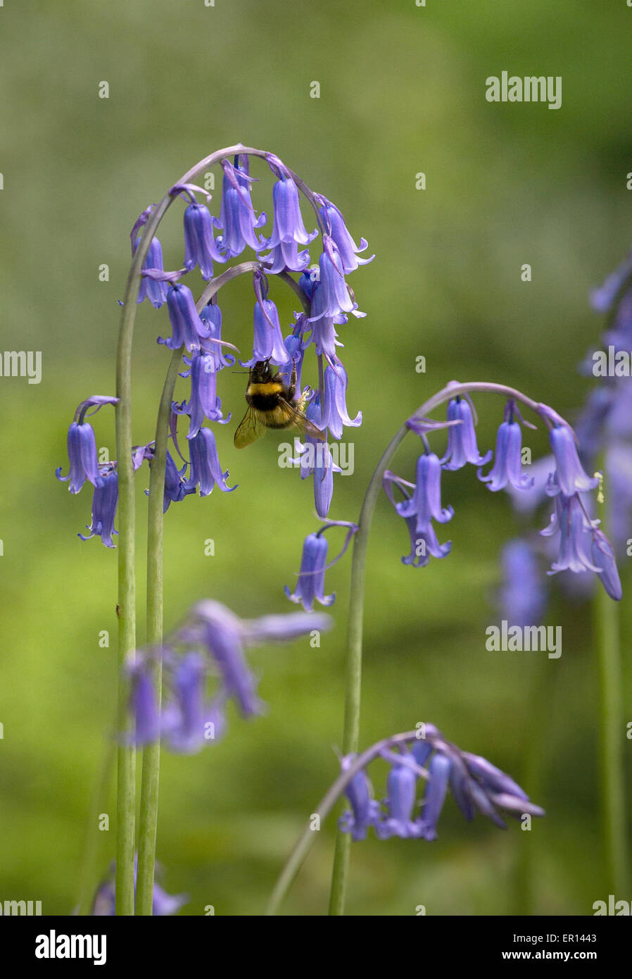 Bluebell Endymion non scriptus with feeding bumblebee in an English woodland in May UK - Stock Image