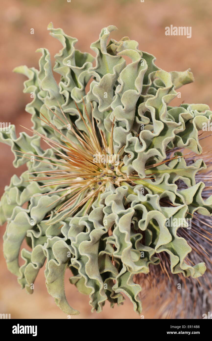 Close up of the head of pachypodium namaquanum - Stock Image