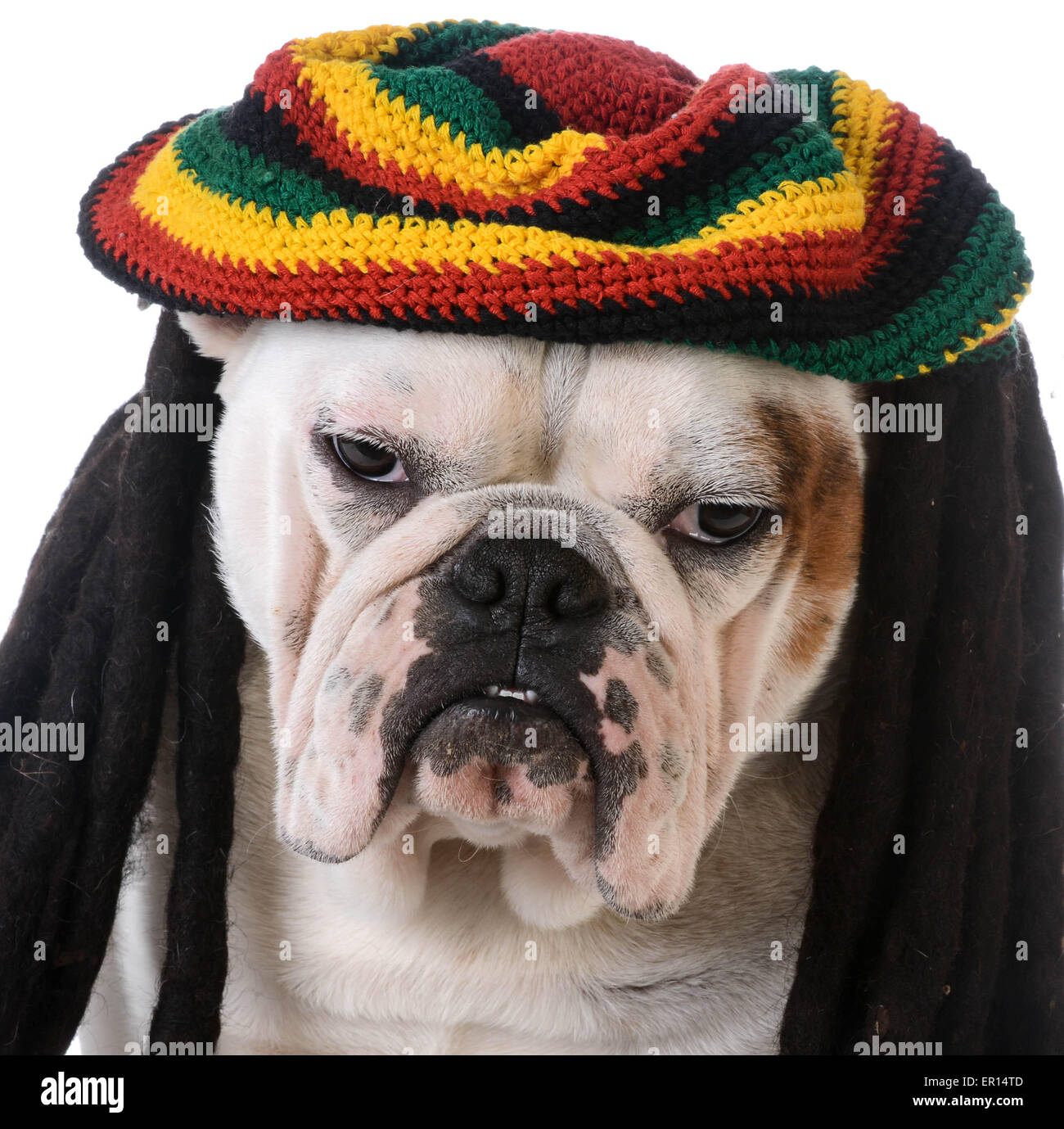 funny dog with dreadlocks - bulldog - Stock Image