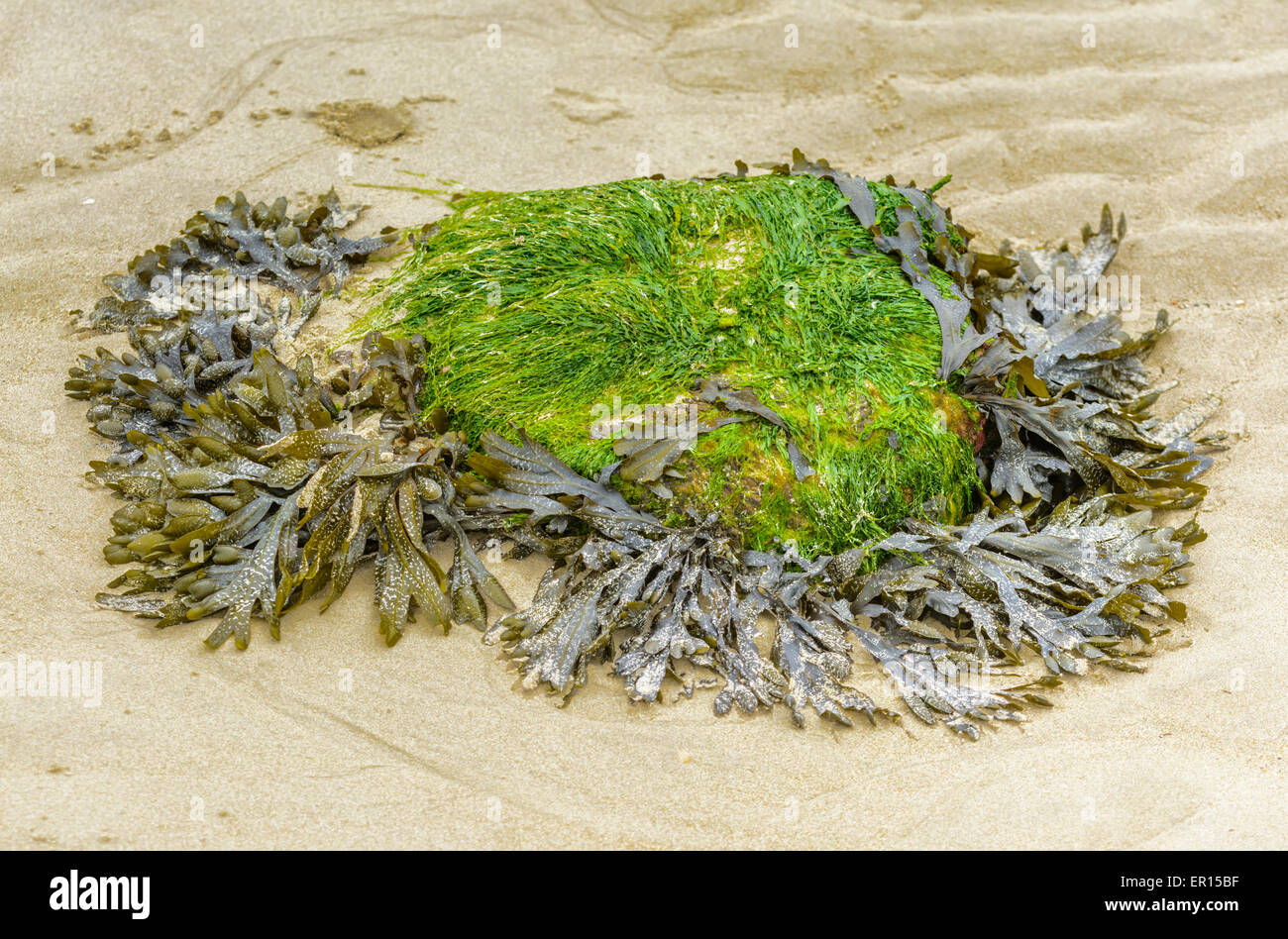 Rock covered in algae and seaweed on a sandy beach. - Stock Image