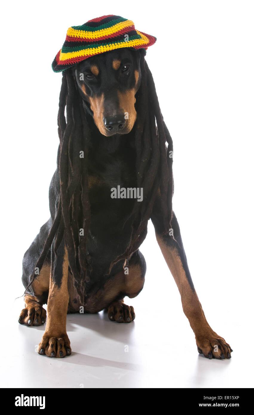 dog in costume - doberman dressed with dreadlocks on white background - Stock Image