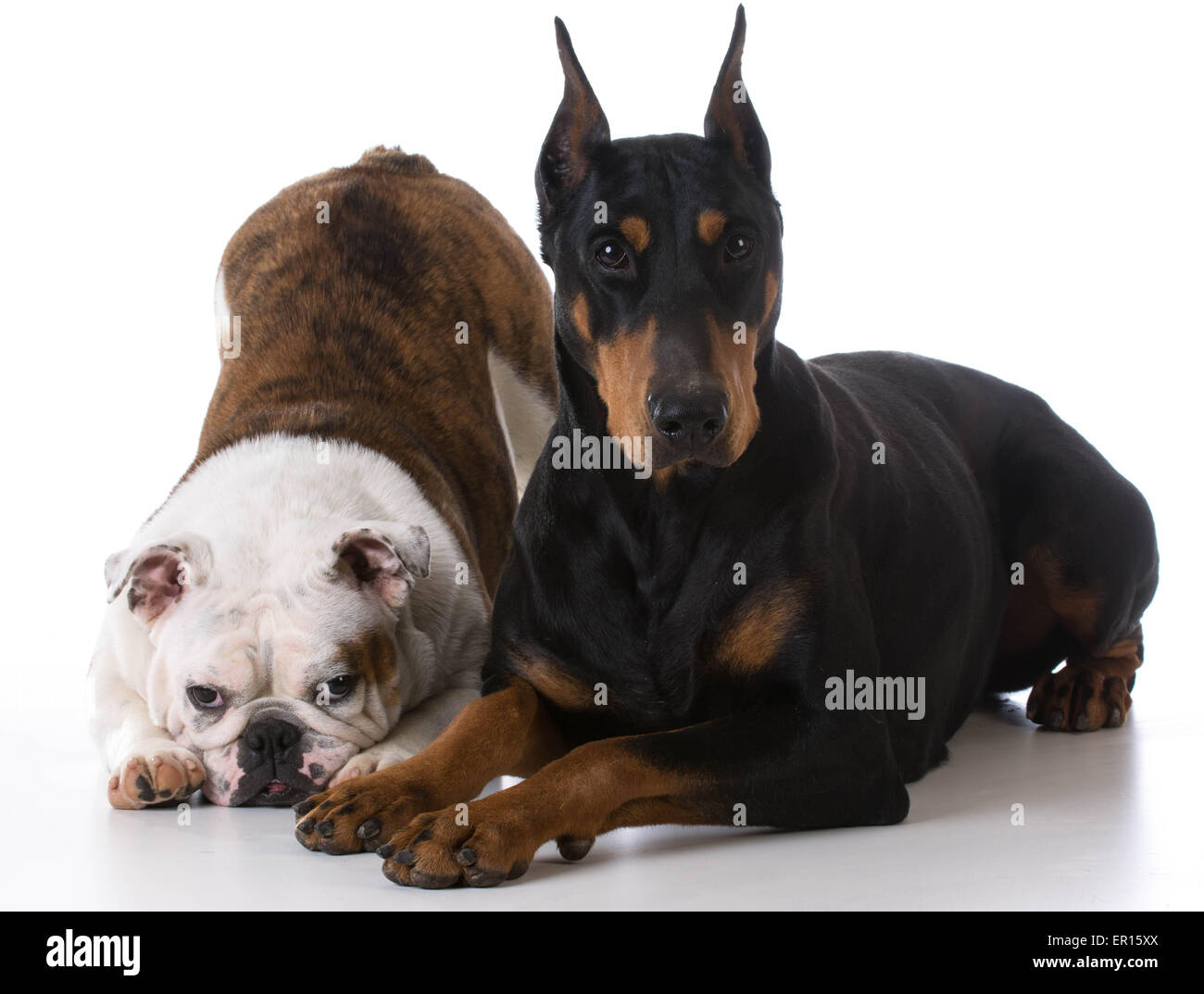two dogs - bulldog and doberman together on white background - Stock Image