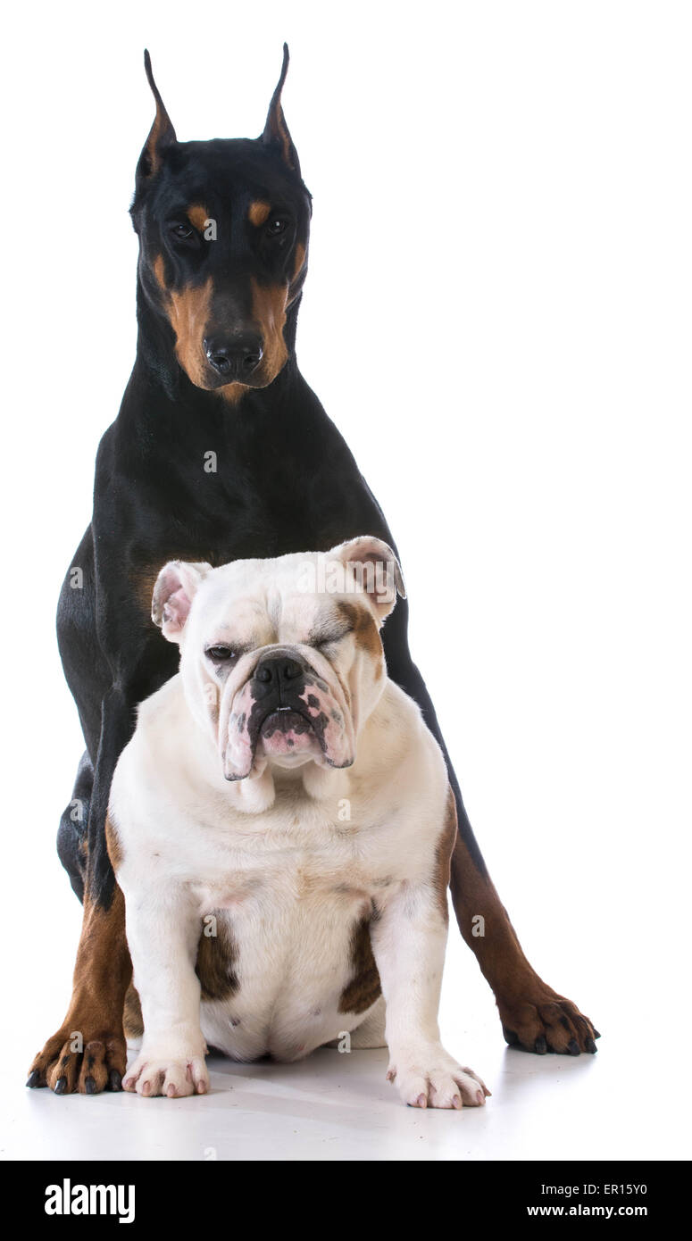 two dog - bulldog looking up at doberman on white background - Stock Image